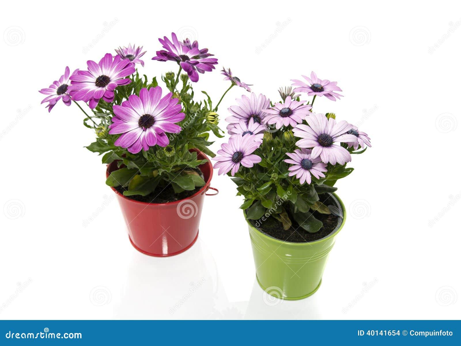 blomma på spanska