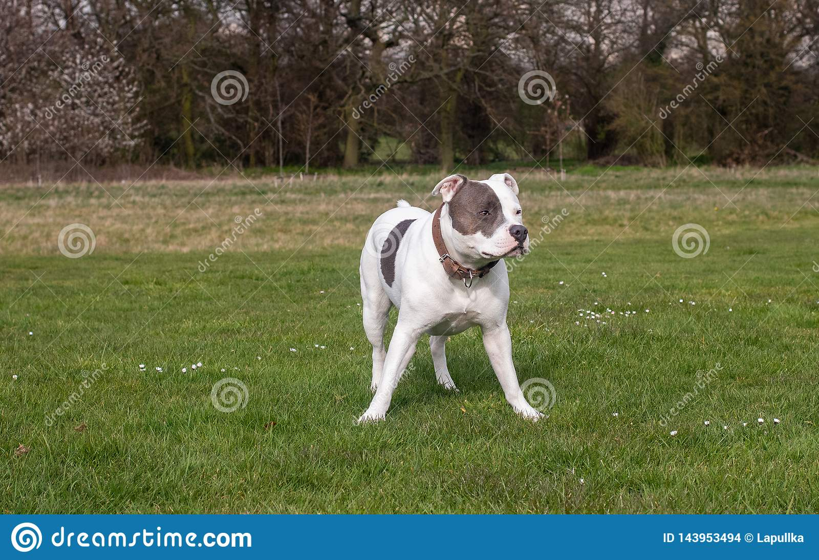 Den Staffordshire Bull terrier hunden som in g?r, parkerar