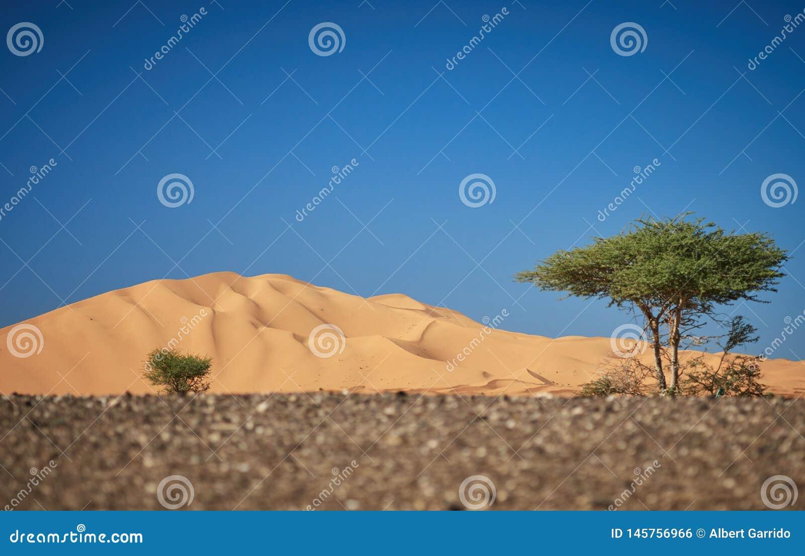 Den stora dyn av merzougaen, med det typiska trädet av öknarna i africa