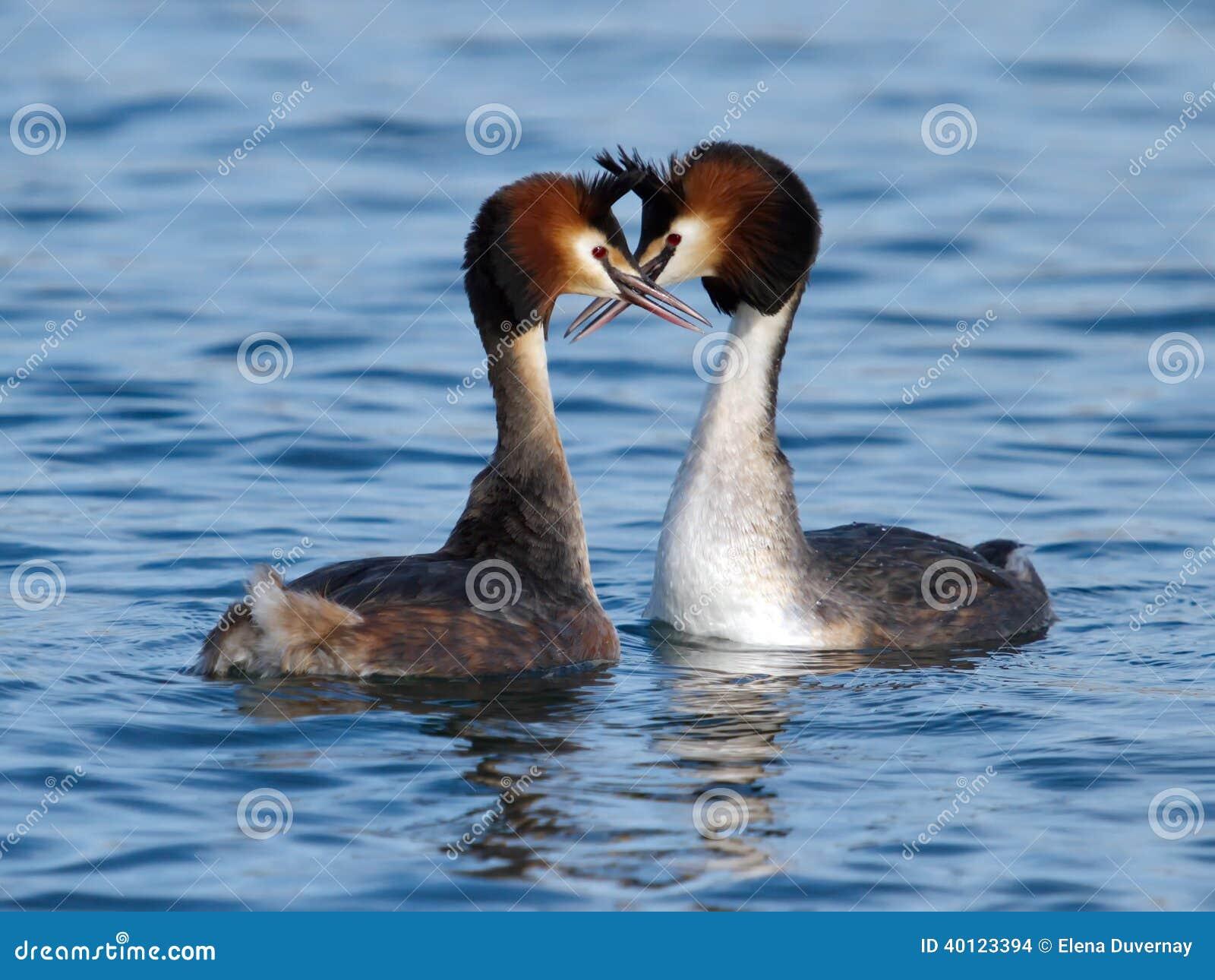 Den stora krönade doppingen duckar kurtis
