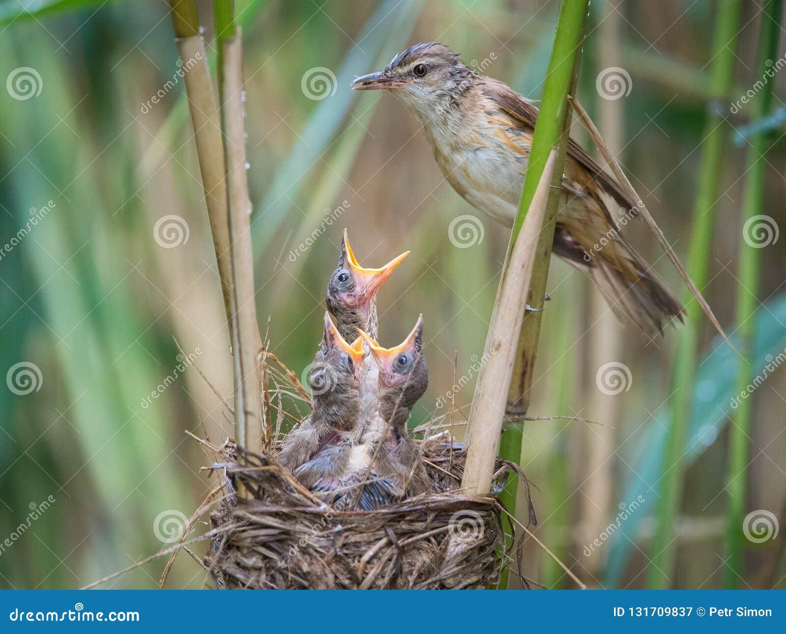Den stora Reed Warbler, Acrocephalusarundinaceus matar dess fågelungar inom vasserna, där är starkt regn Unga fåglar har