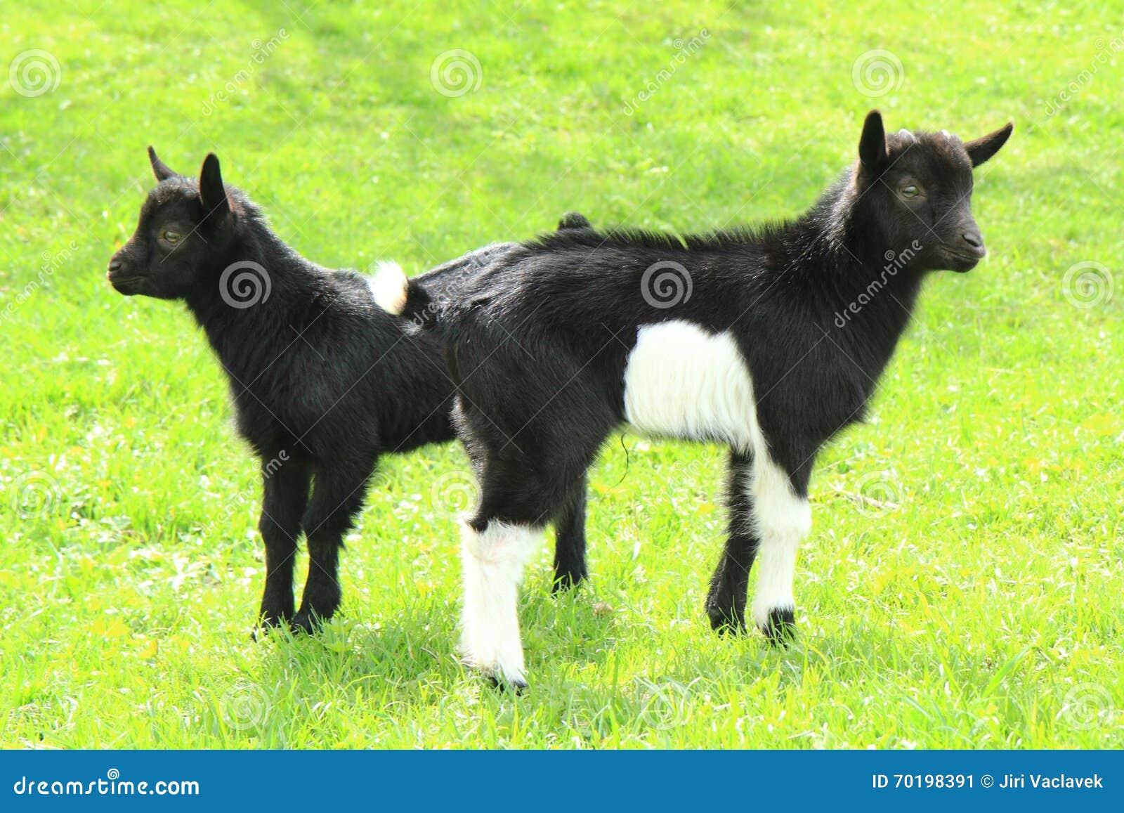 Den svarta geten behandla som ett barn i gräset