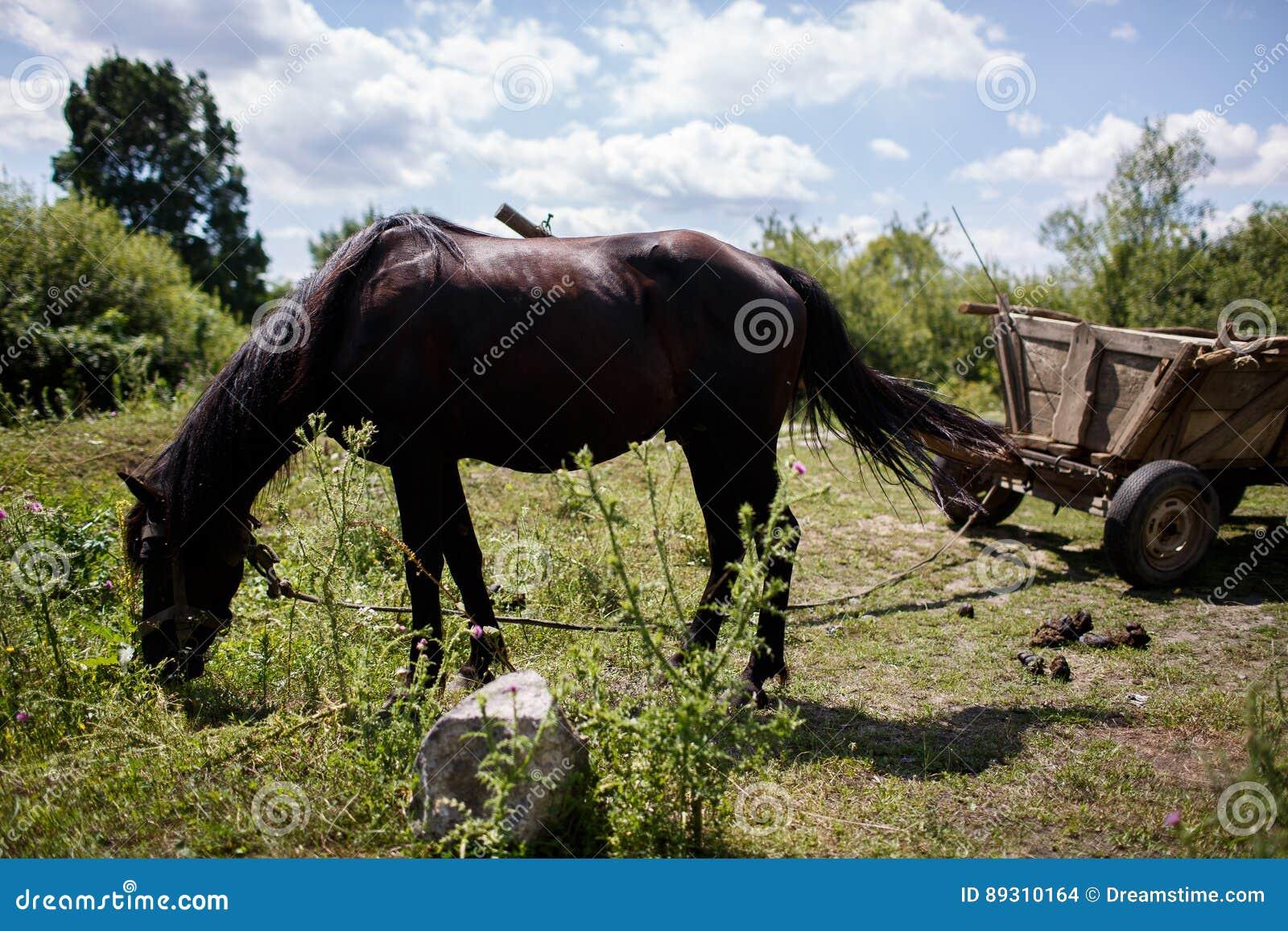 Den svarta hästen äter gräs betar in
