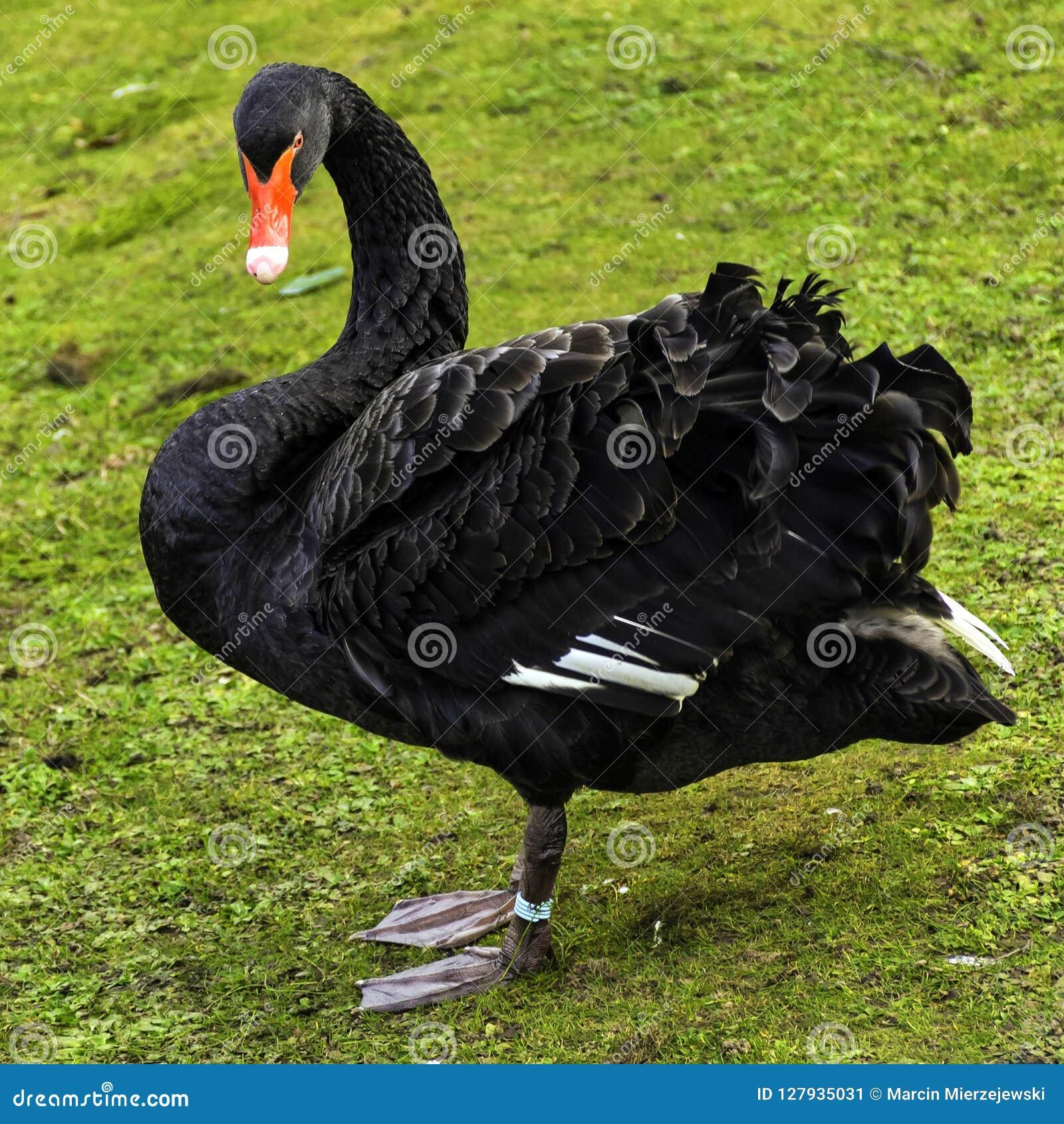 Den svarta svanen/Cygnusatratusen - en stor waterbird i britt parkerar, London, UK