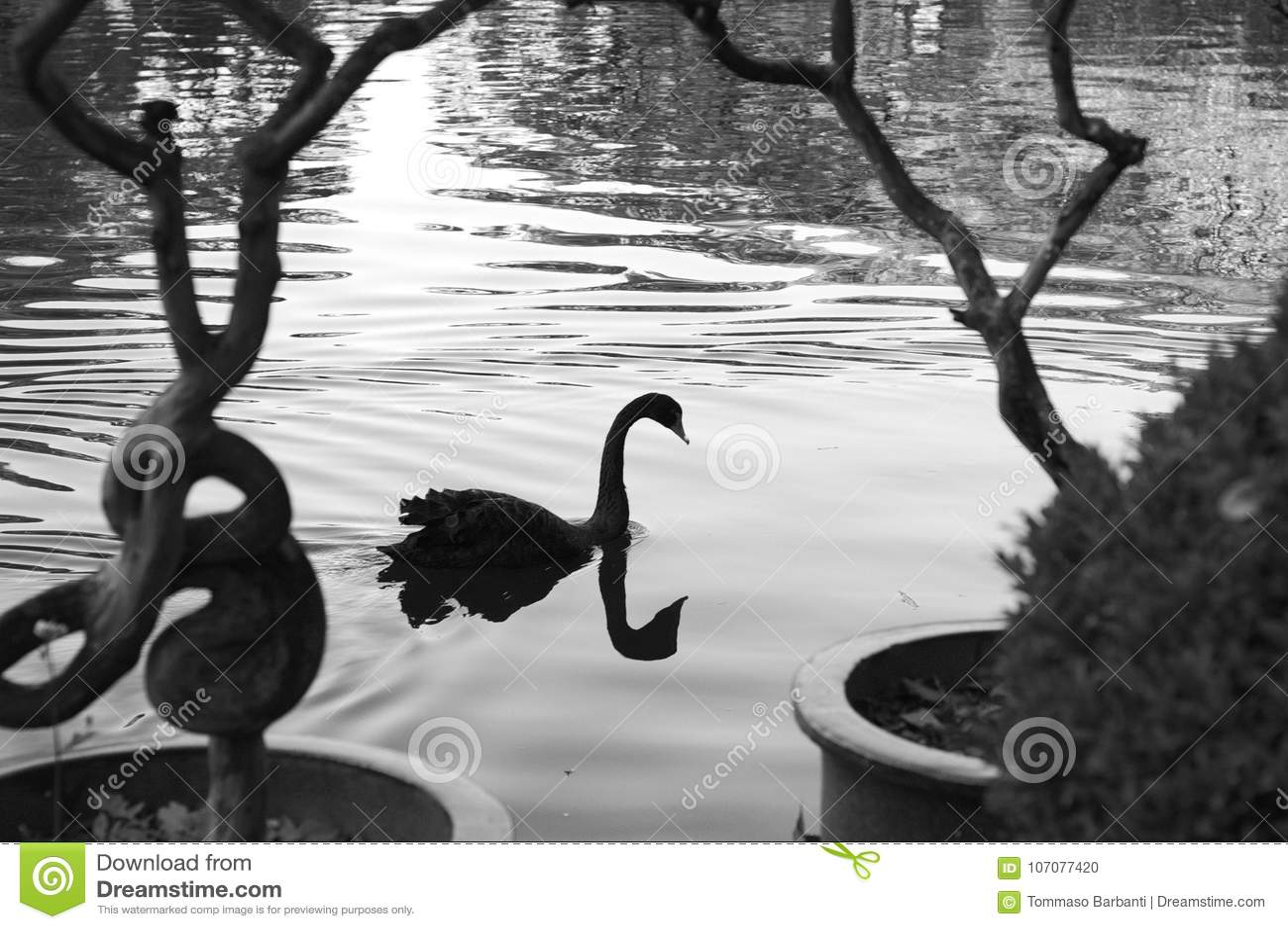 Den svarta svanen reflekterade i sjön - svartvitt fotografi