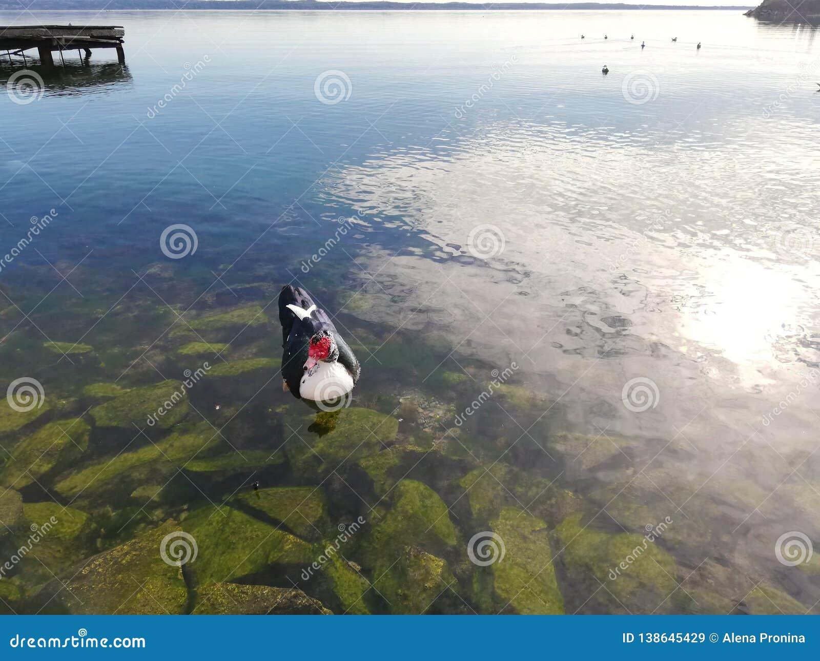 Den svartvita anden med den röda framsidan som svävar i vattnet över gräsplanen, vaggar