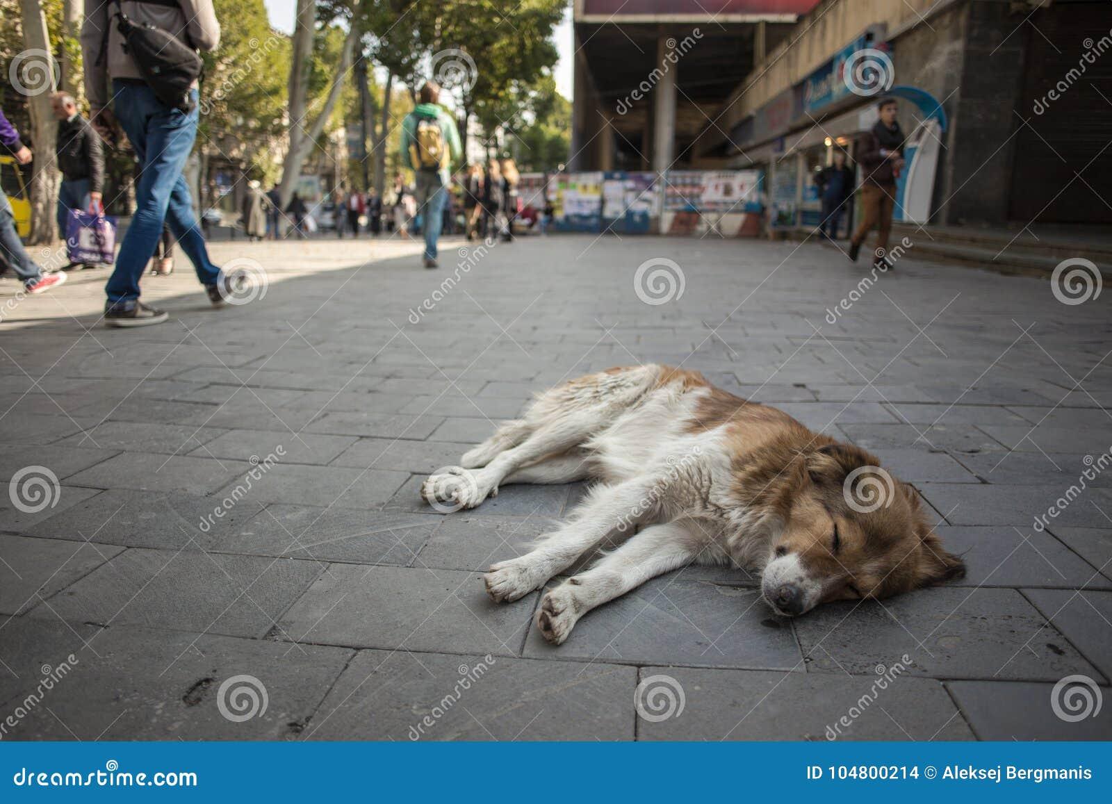 Den tillfälliga hunden ligger på den Tbilisi stadsgatan