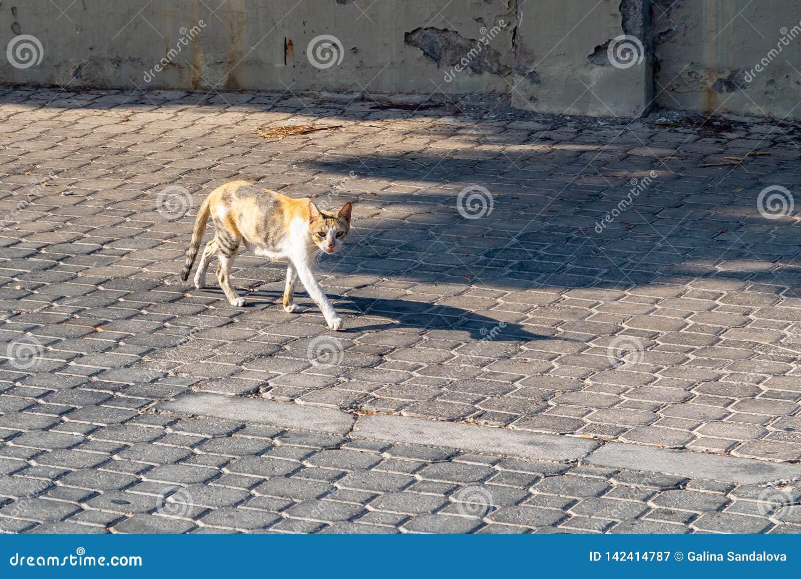 Den tillfälliga tricolor katten går på kullerstentrottoar
