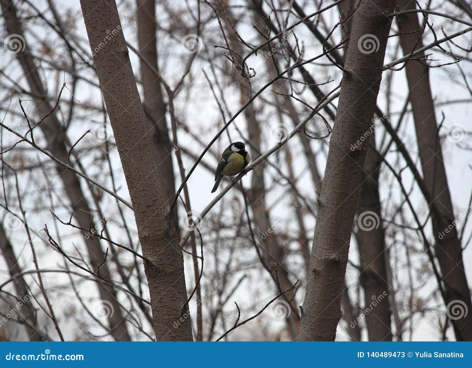 Den Tomtit fågeln sitter på filialen av trädet