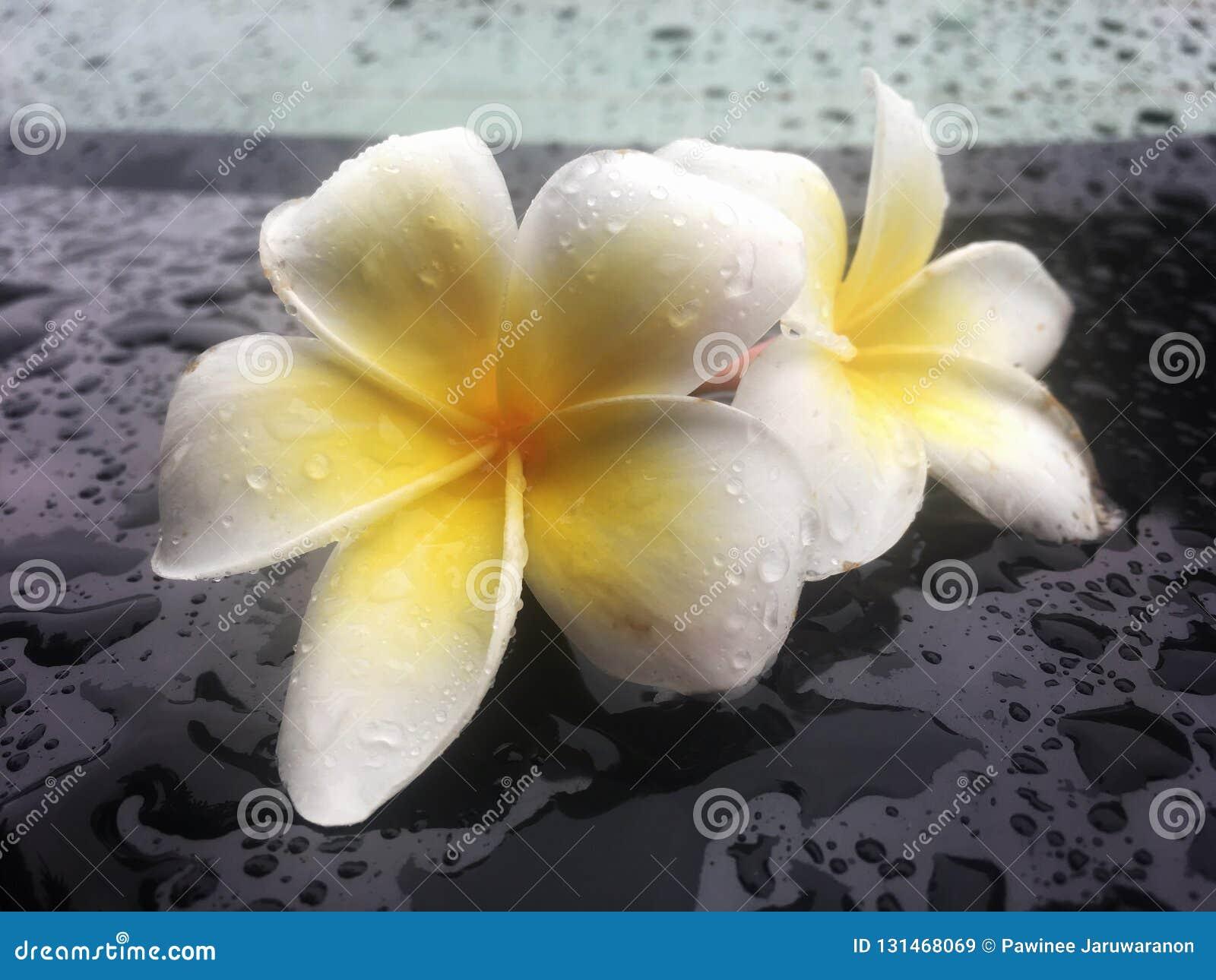 Den tropiska blommafrangipanien är våt med regndroppe på den skinande svarta tabellen