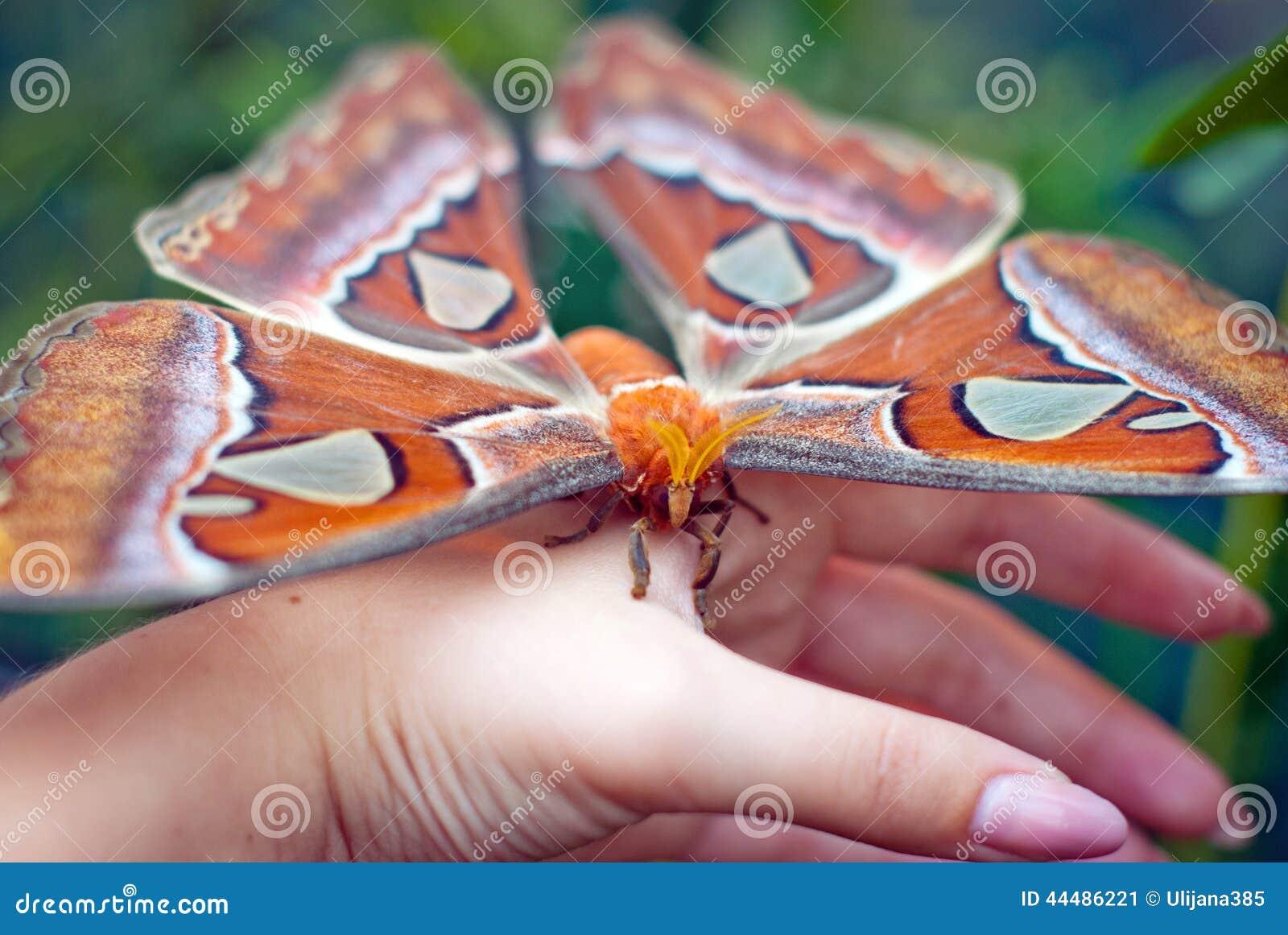 Den tropiska fjärilen sitter på en hand