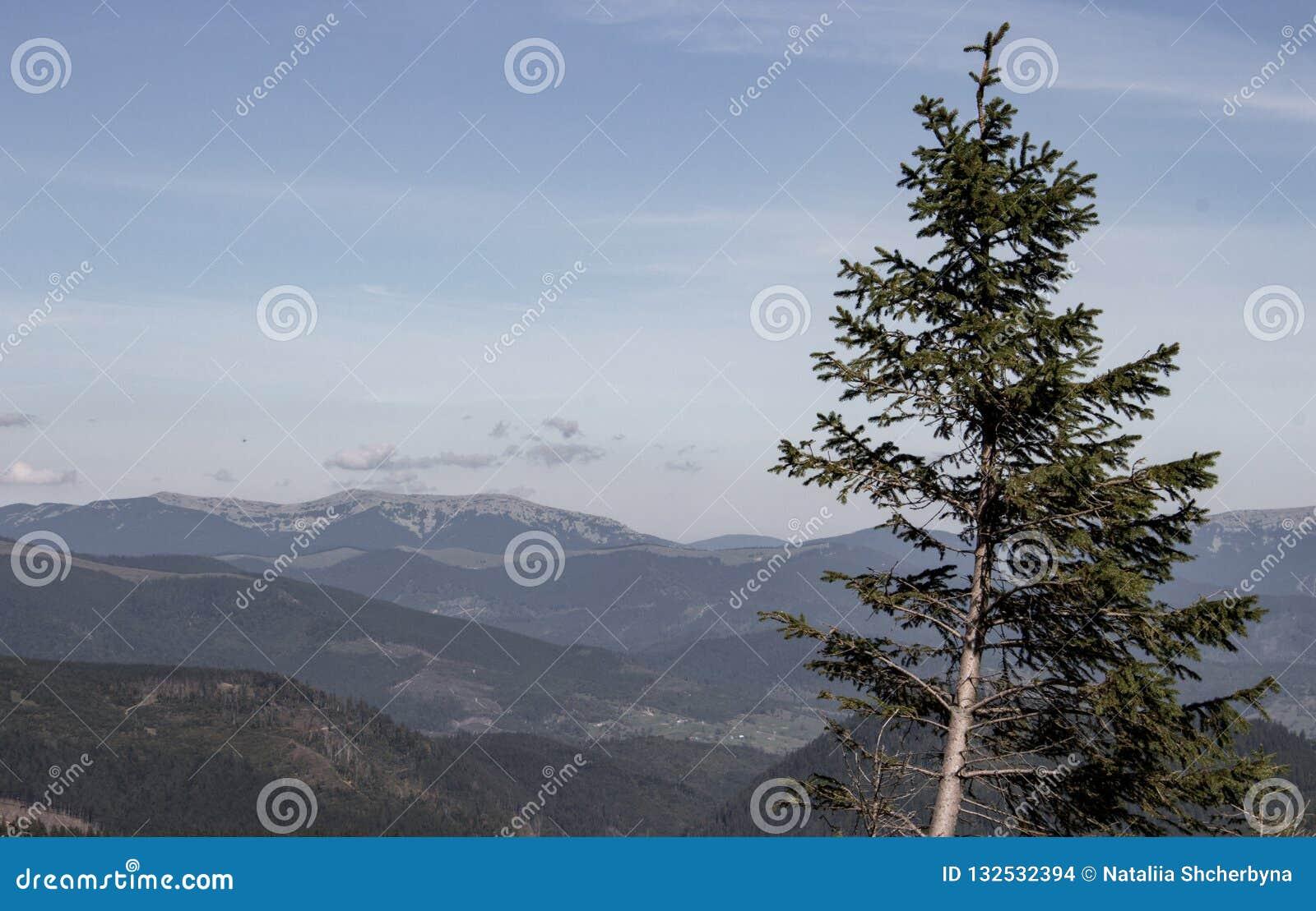 Den underbara sikten av Carpathians berg med sörjer dämpade färger för förgrund Carpathians berglandskap Skönhet av den vidsträck