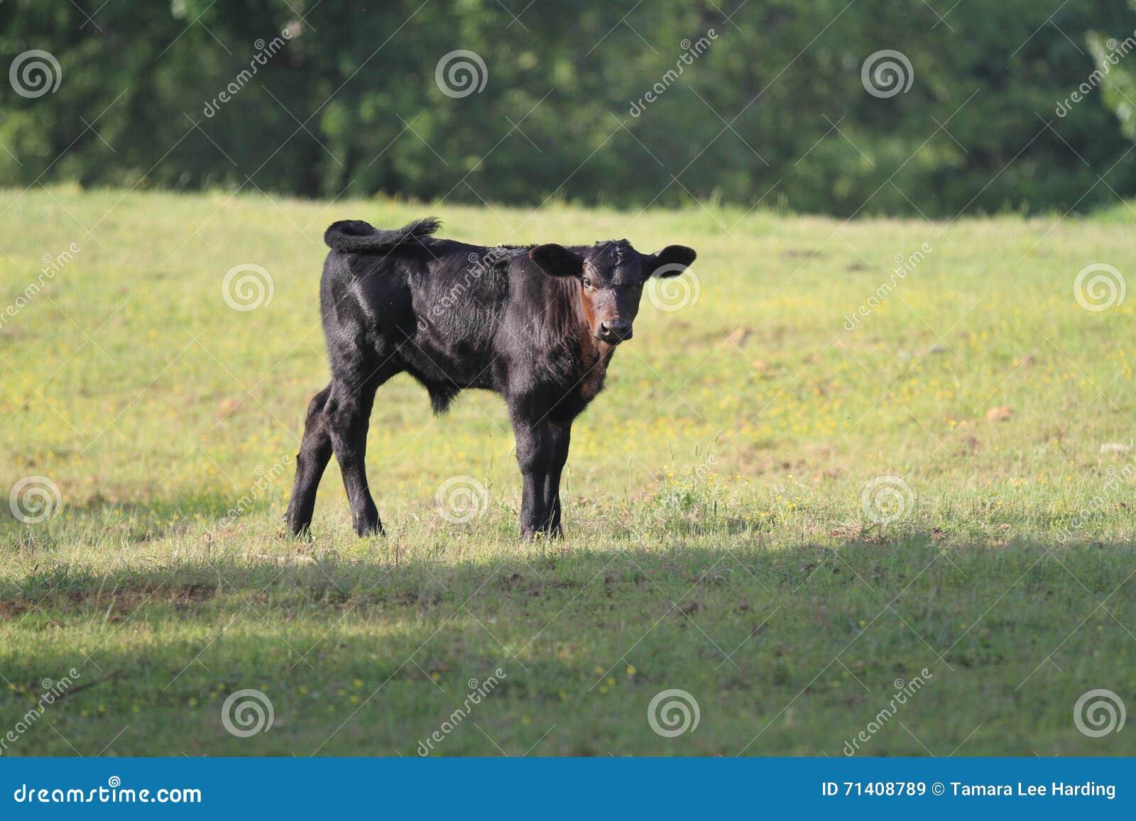 Den unga kalven eller kvigan i vår betar