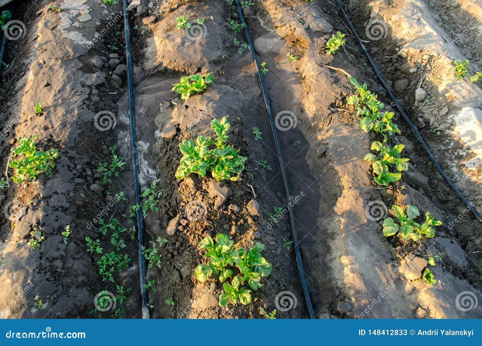 Den unga potatisen v?xer i f?ltet och bevattnat med droppbevattning V?xande organiska gr?nsaker Jordbruk lantbruk Lantg?rd