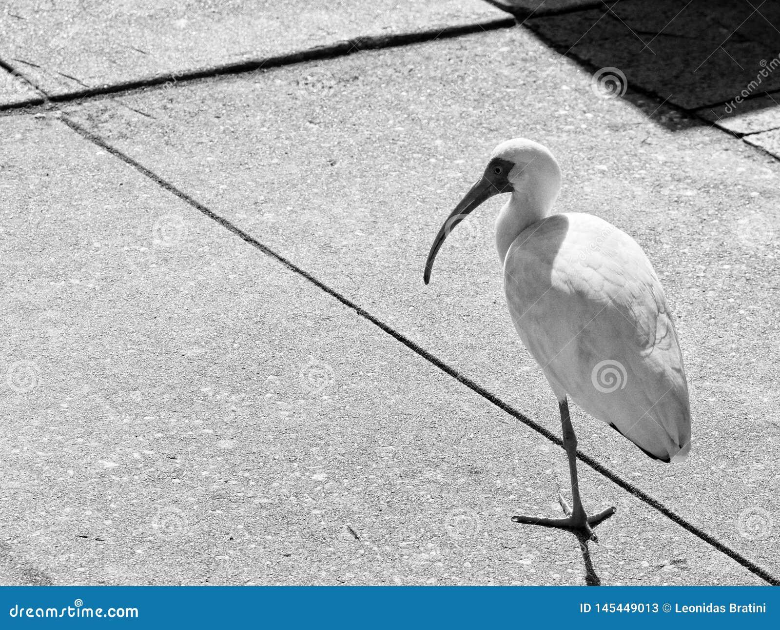 Den vita fågeln som går runt om, parkerar