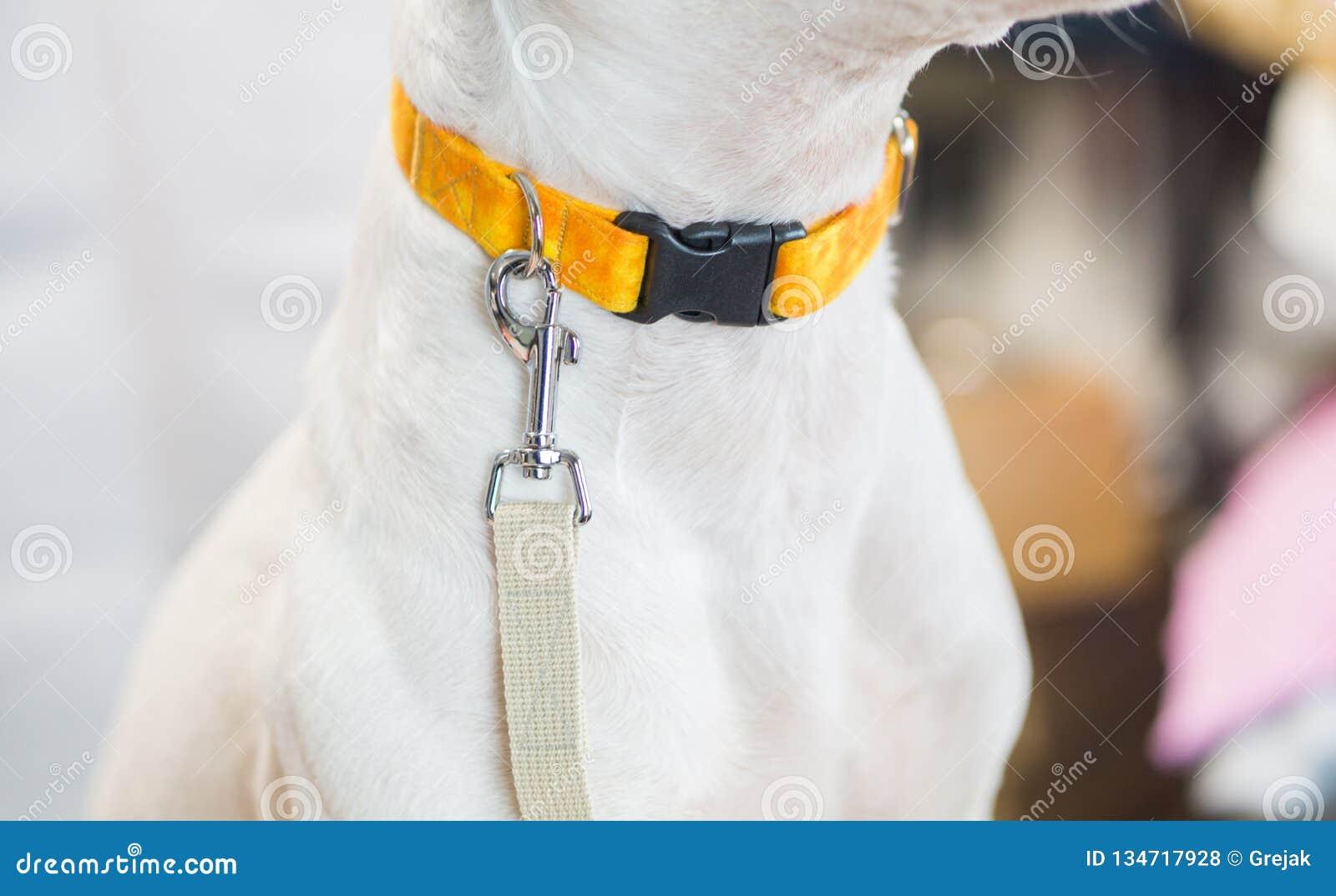 Den vita hunden med koppeln som väntar för att gå för, går, med tomt vitt utrymme