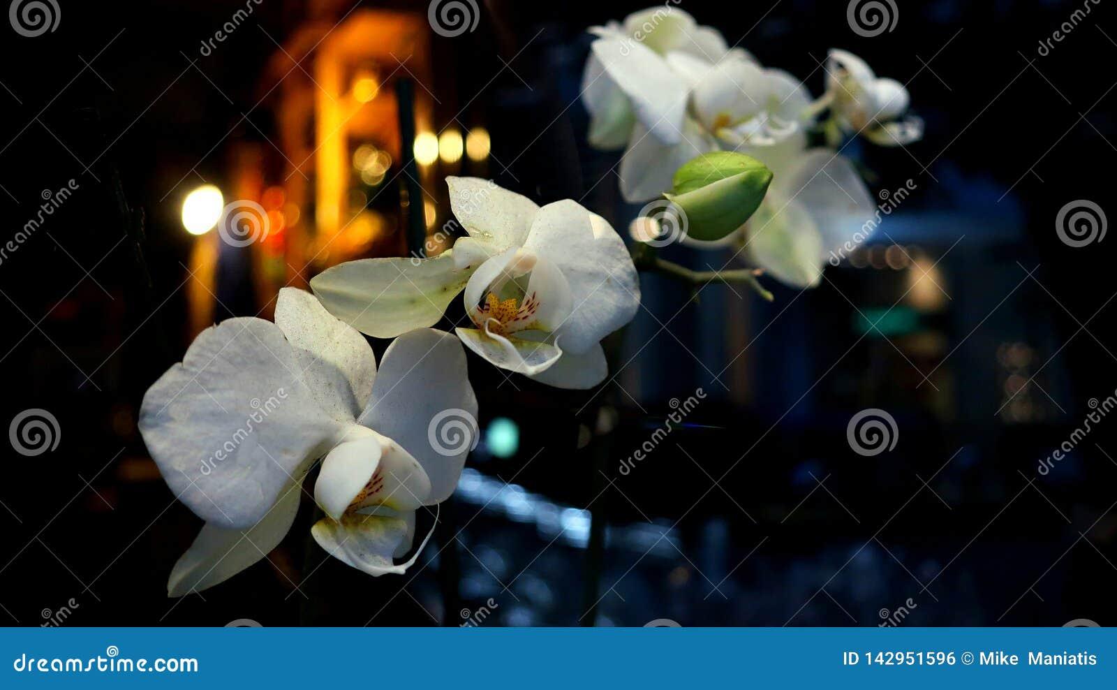 Den vita lösa orkidén i natten
