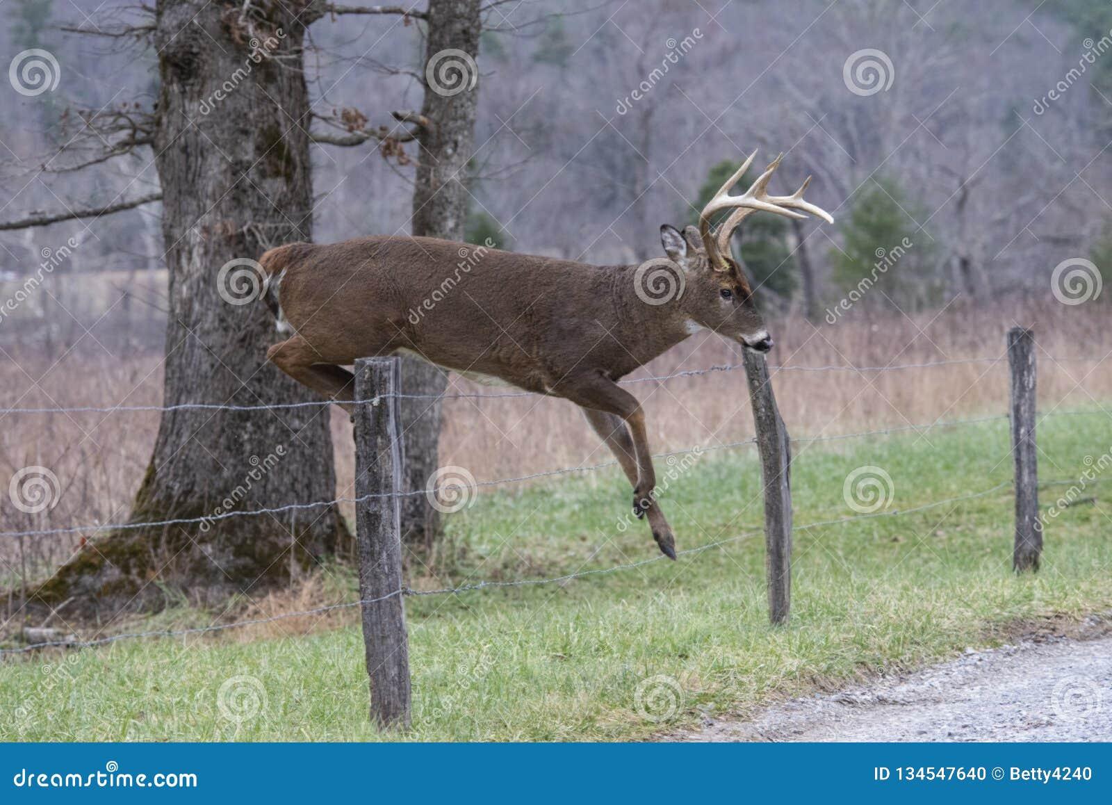 Den vita Tailed hjortbocken hoppar ett staket i den Cades lilla viken