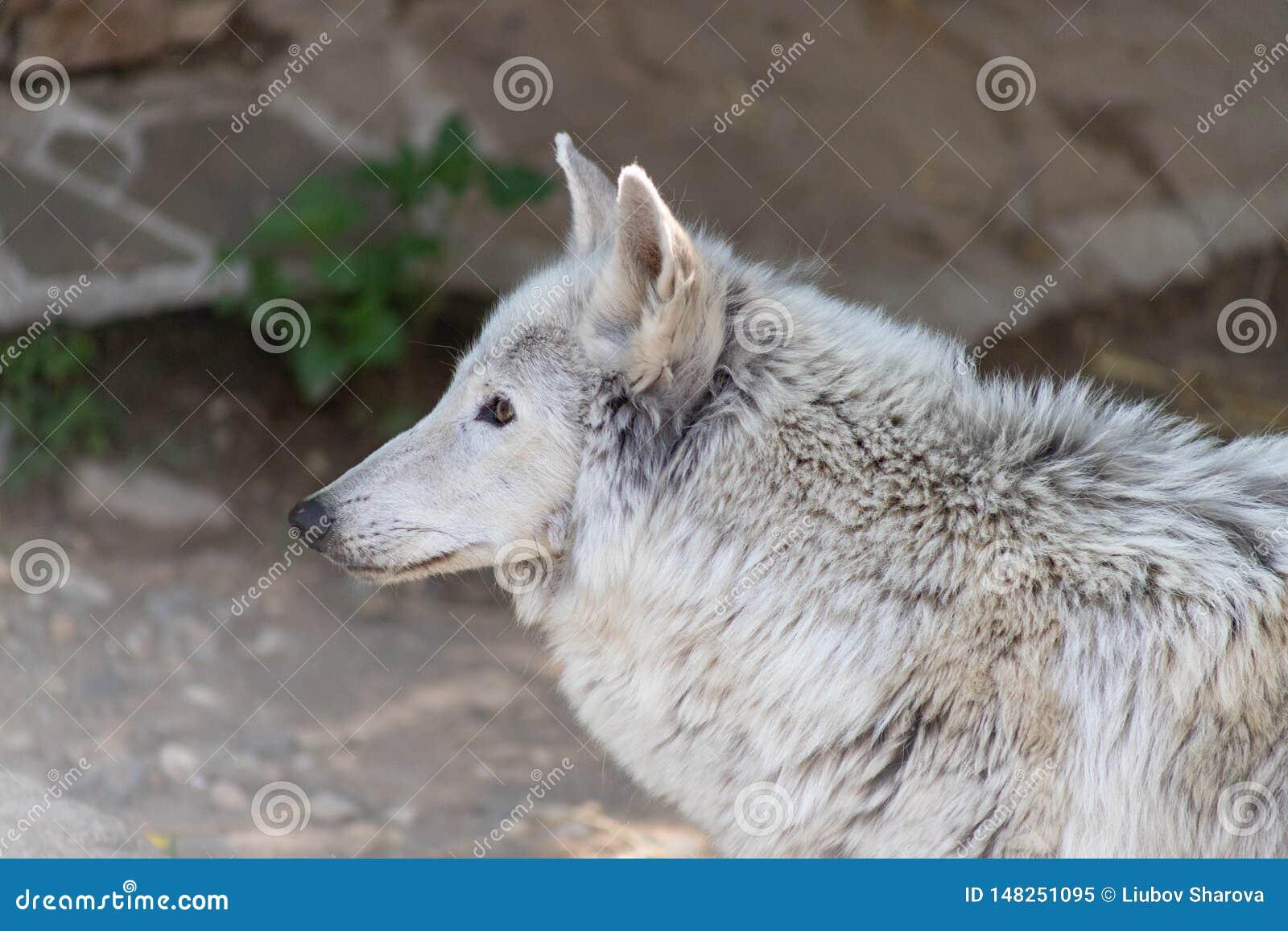 Den vita vargen f?r tundran f?r den Wolf Canis lupusalbusen eller med lamslagen tafsar, ett offer av m?nsklig grymhet i zoo