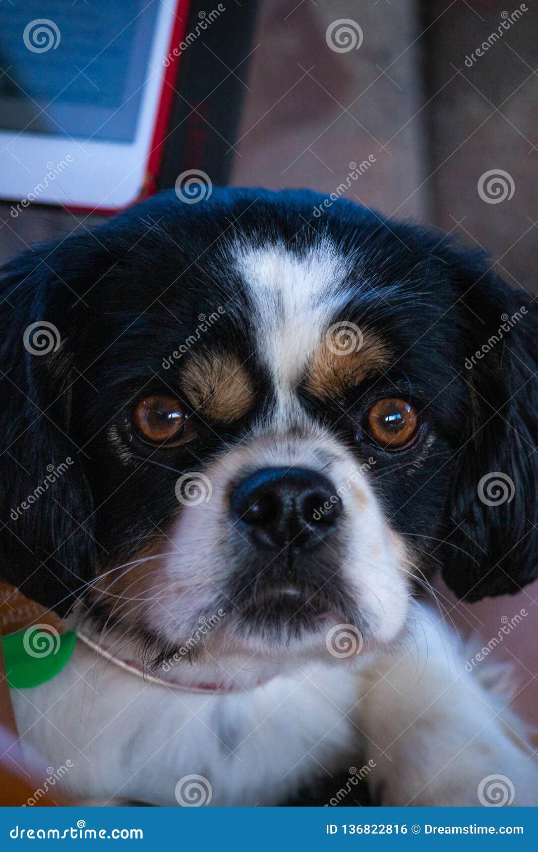 Den vresiga framsidahunden stirrar ner