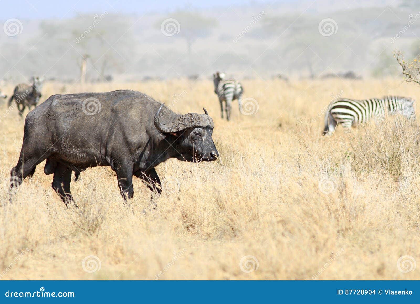Den vuxna mannen av den afrikanska buffeln