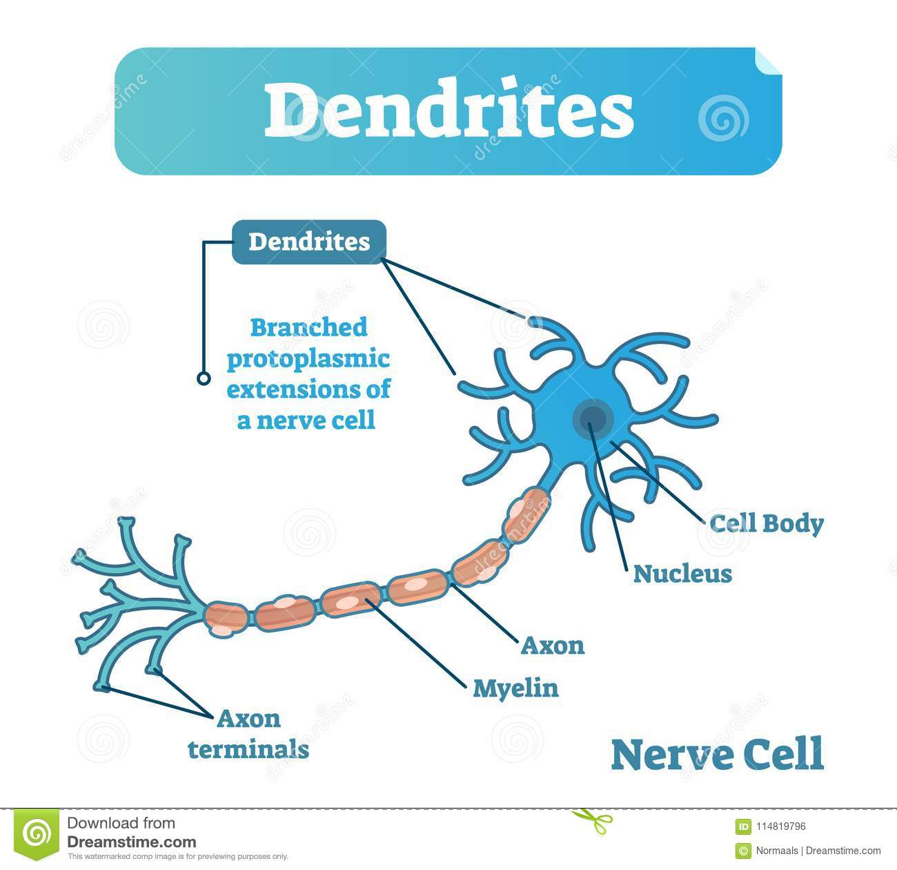 Dendrite Biological Anatomy Vector Illustration Diagram With Nerve