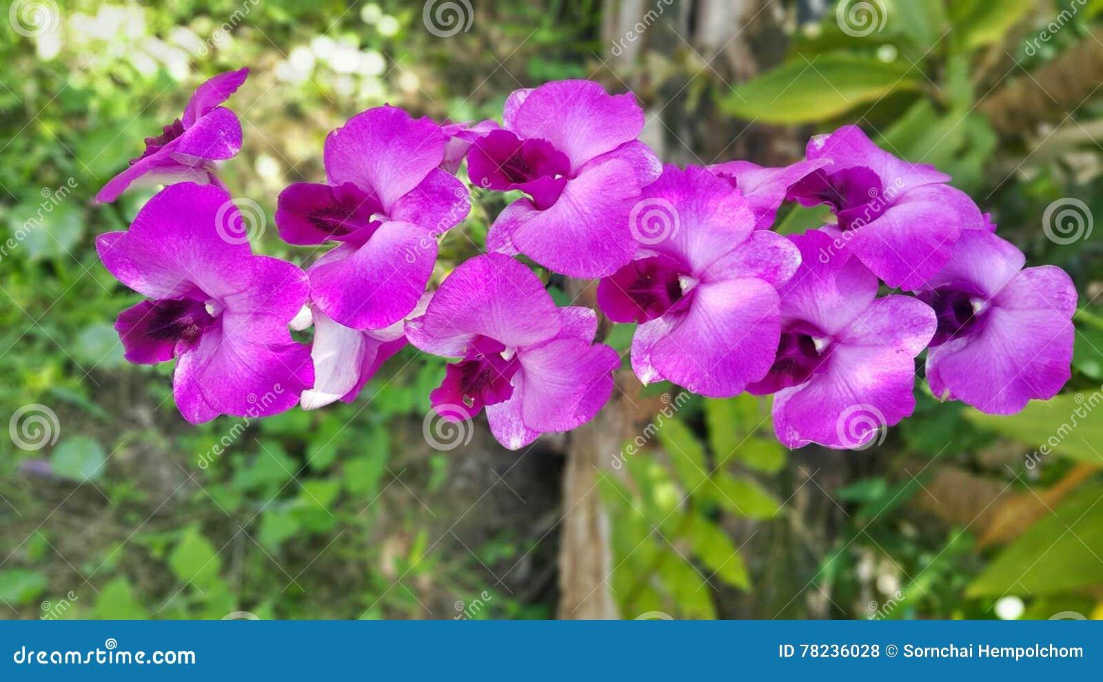 Dendrobiumorkidé