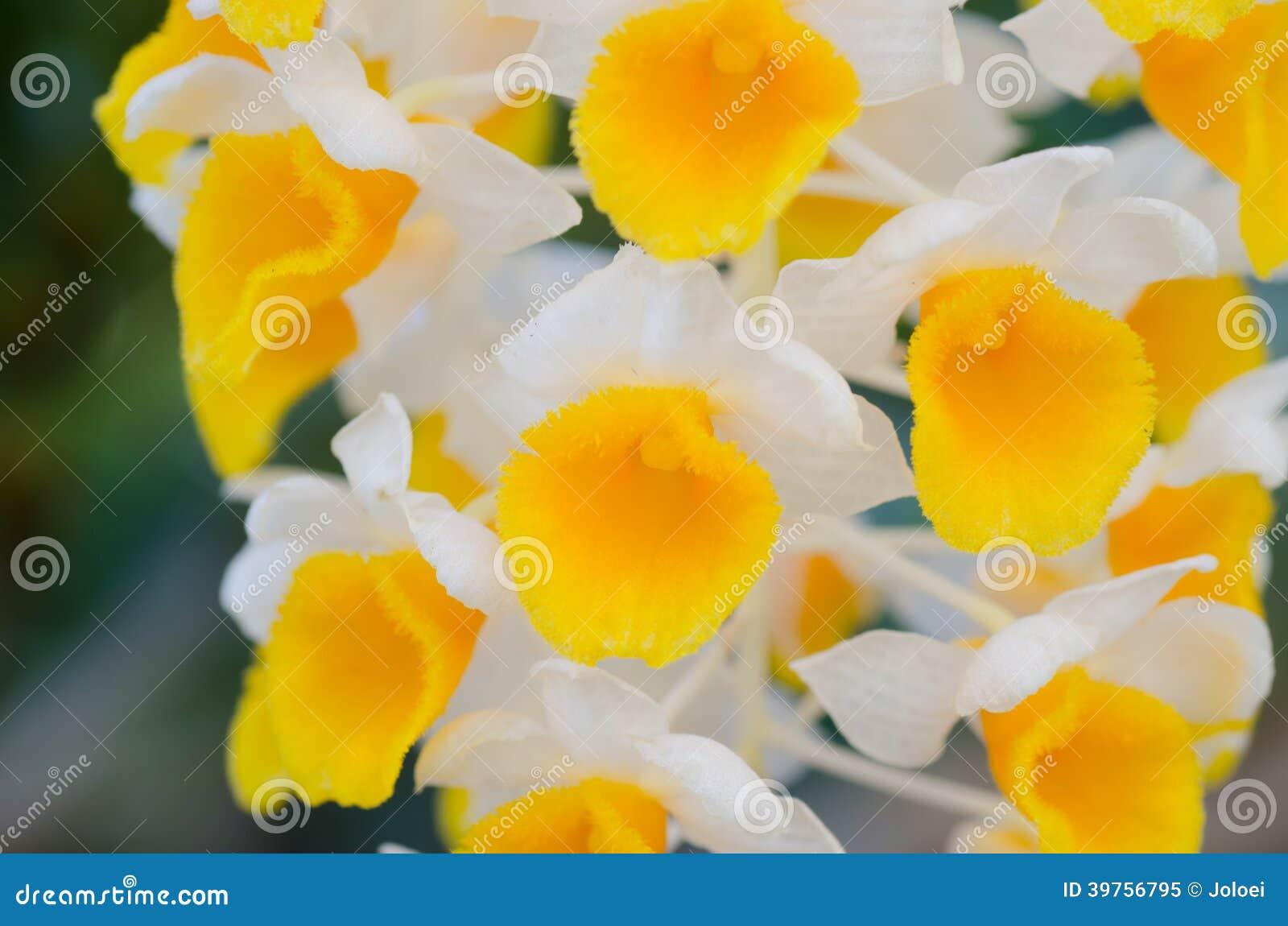 Dendrobiumthyrsiflorum