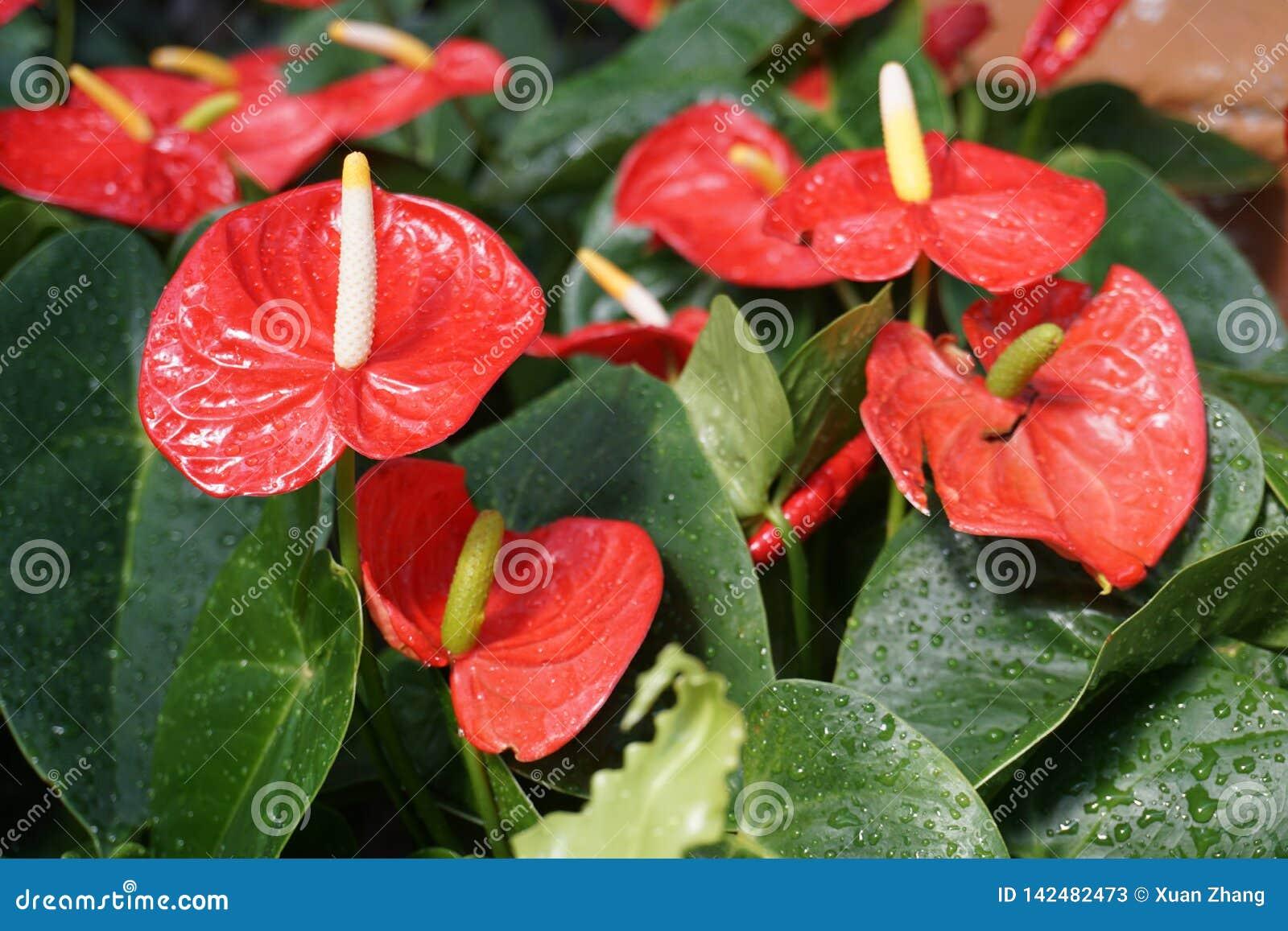 Denna är en blomma som kallas anthuriumen