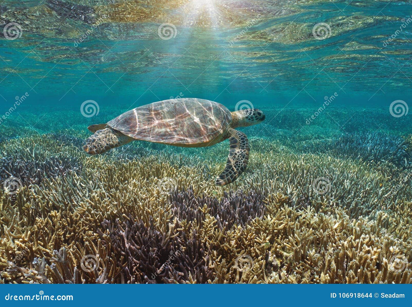 Dennego żółwia rafa koralowa z światło słoneczne Pacyficznym oceanem