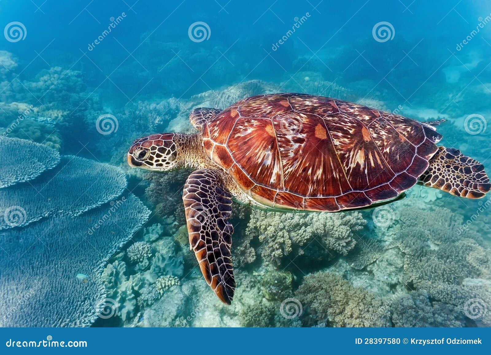 Denny żółw na rafie koralowa
