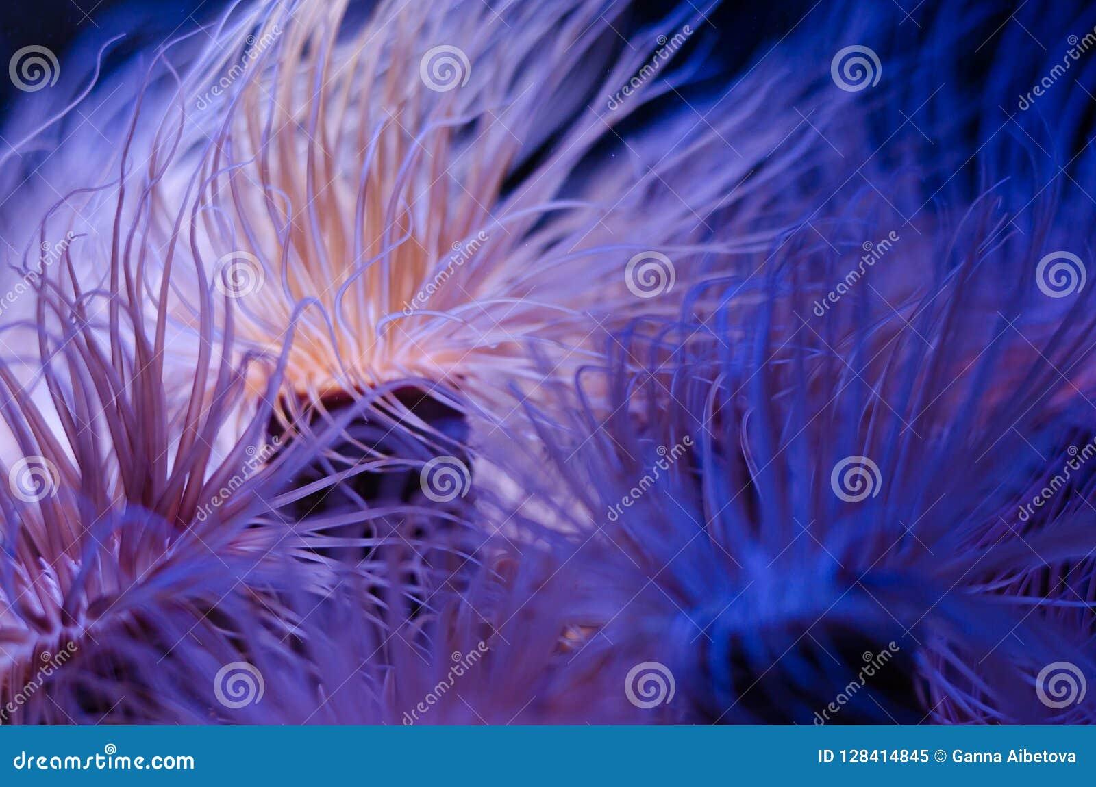 Denny anemon w zmroku - błękitne wody akwarium Tropikalny morskiego życia tło