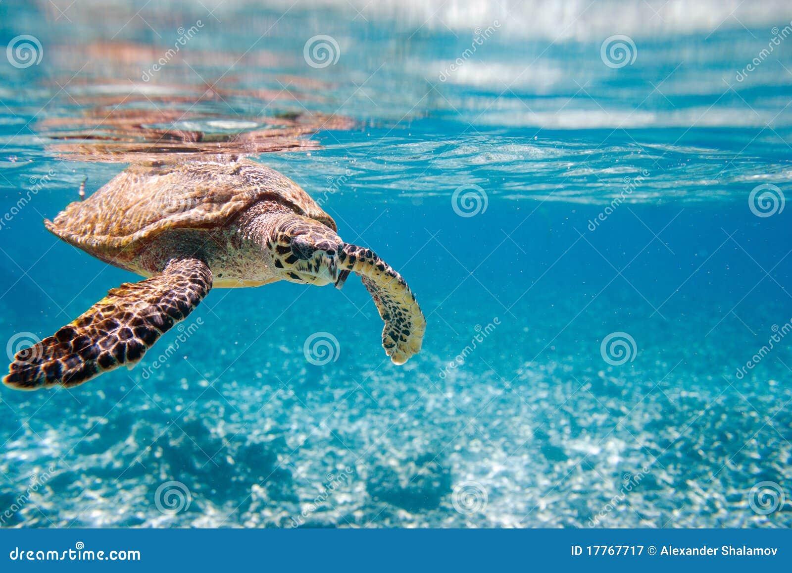 Denny hawksbill żółw