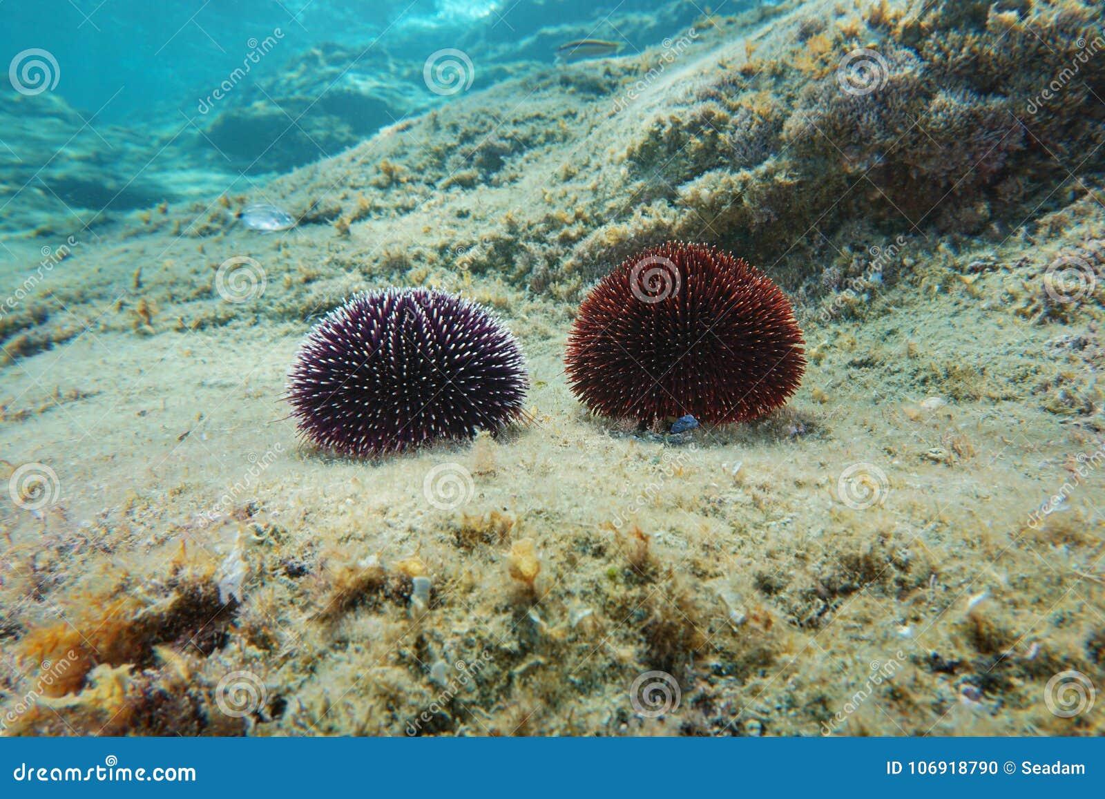 Dennych czesaków Sphaerechinus granularis Śródziemnomorscy