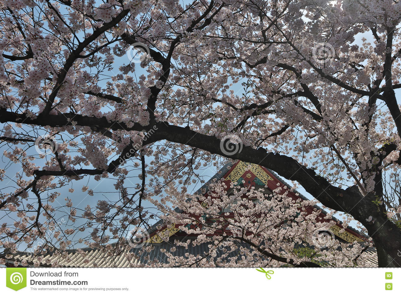 Denpo-in in Asakusa during cherry blossom on