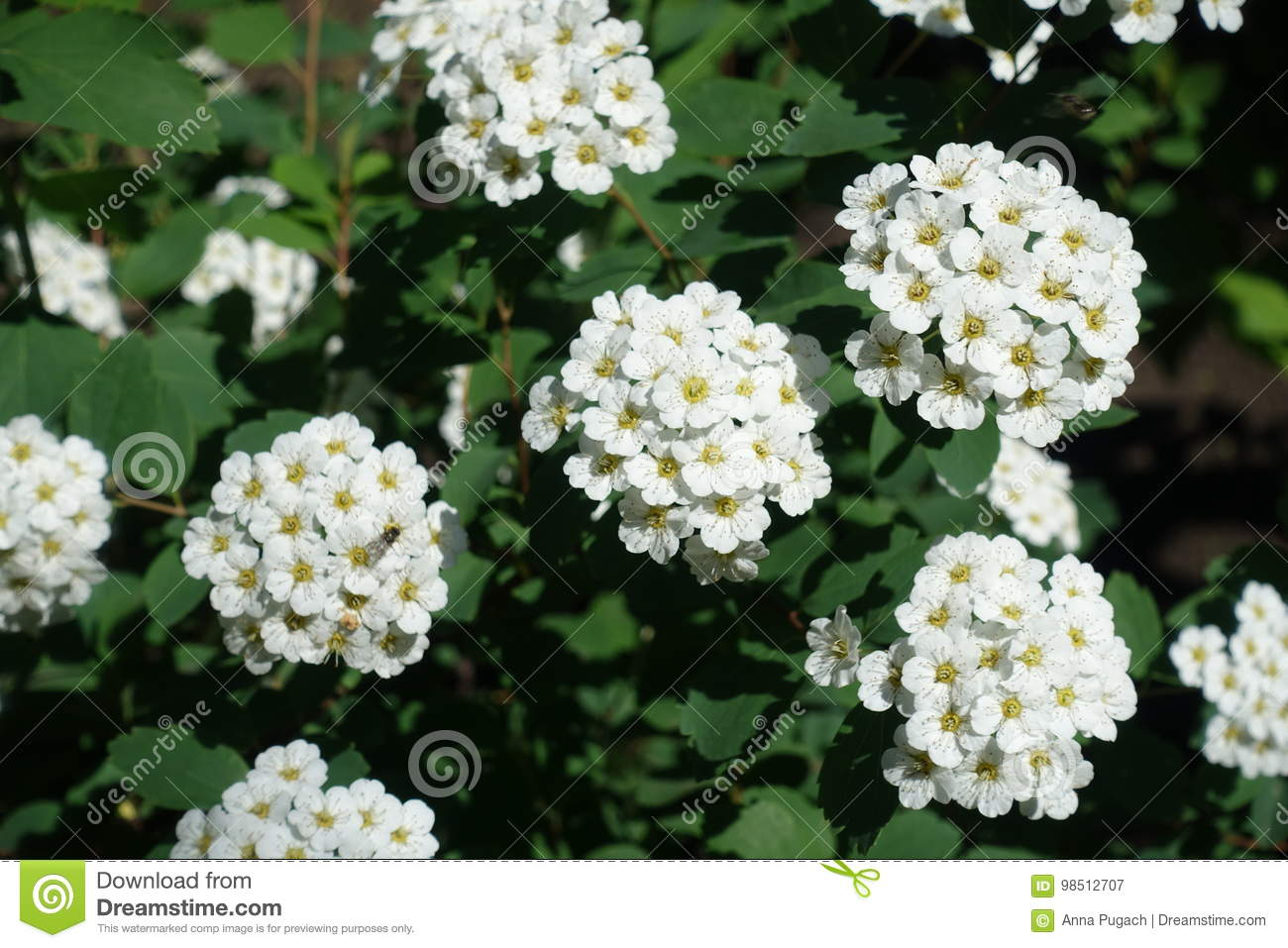 Dense Clusters Of White Flowers Of Spirea Stock Image Image Of