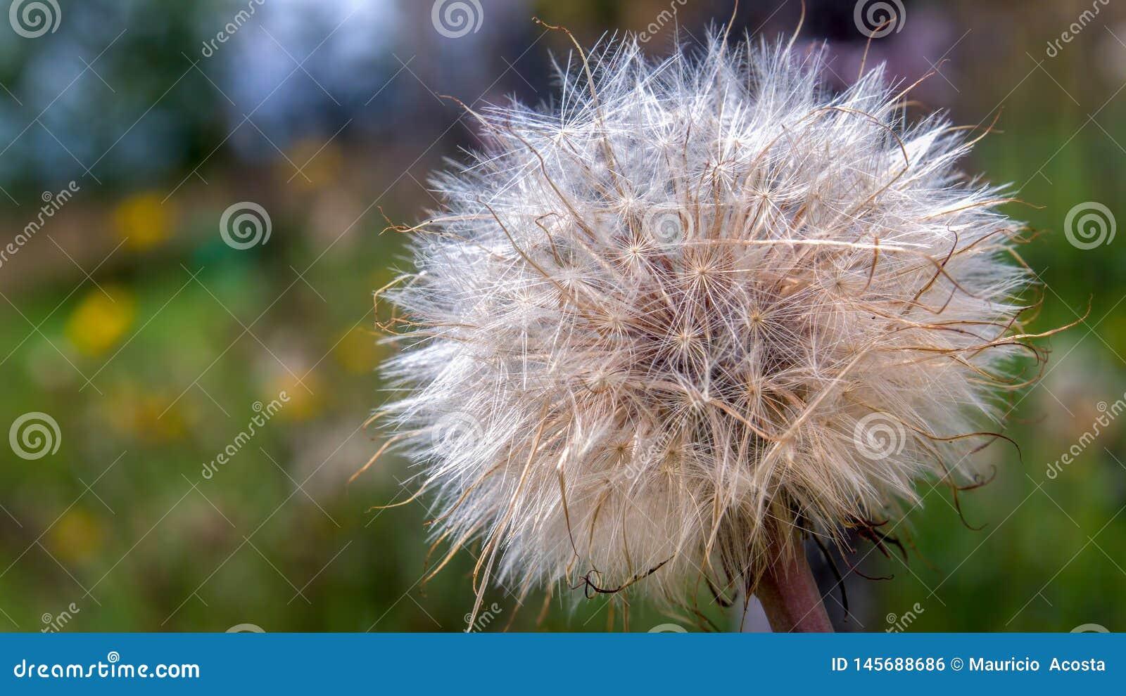 Dense dandelion seed fluff in a dandelion field