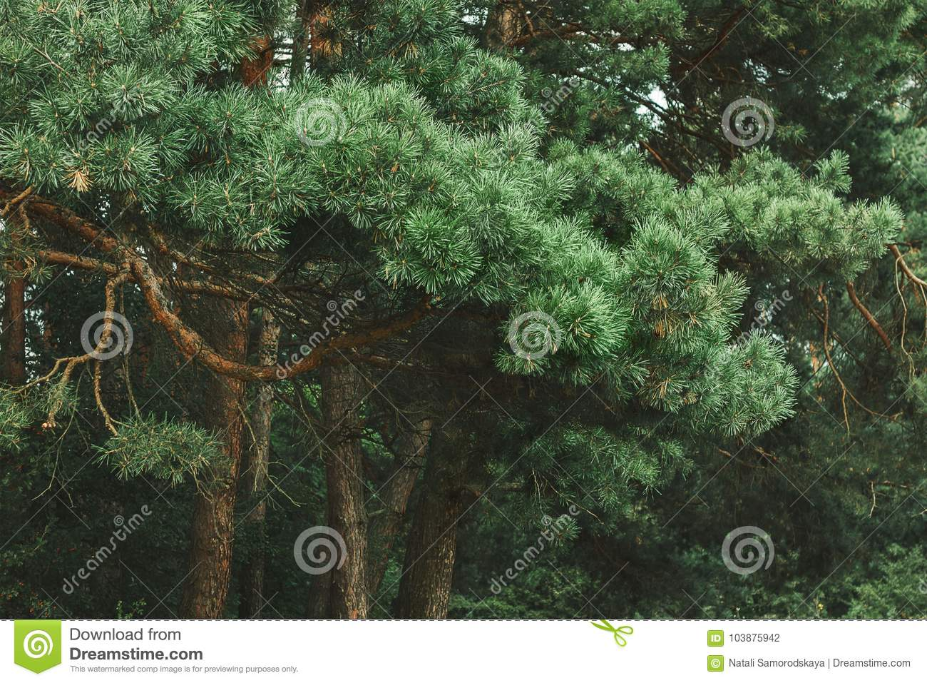 Dense Green And Beautiful Pine Forest. Nice Walk On A