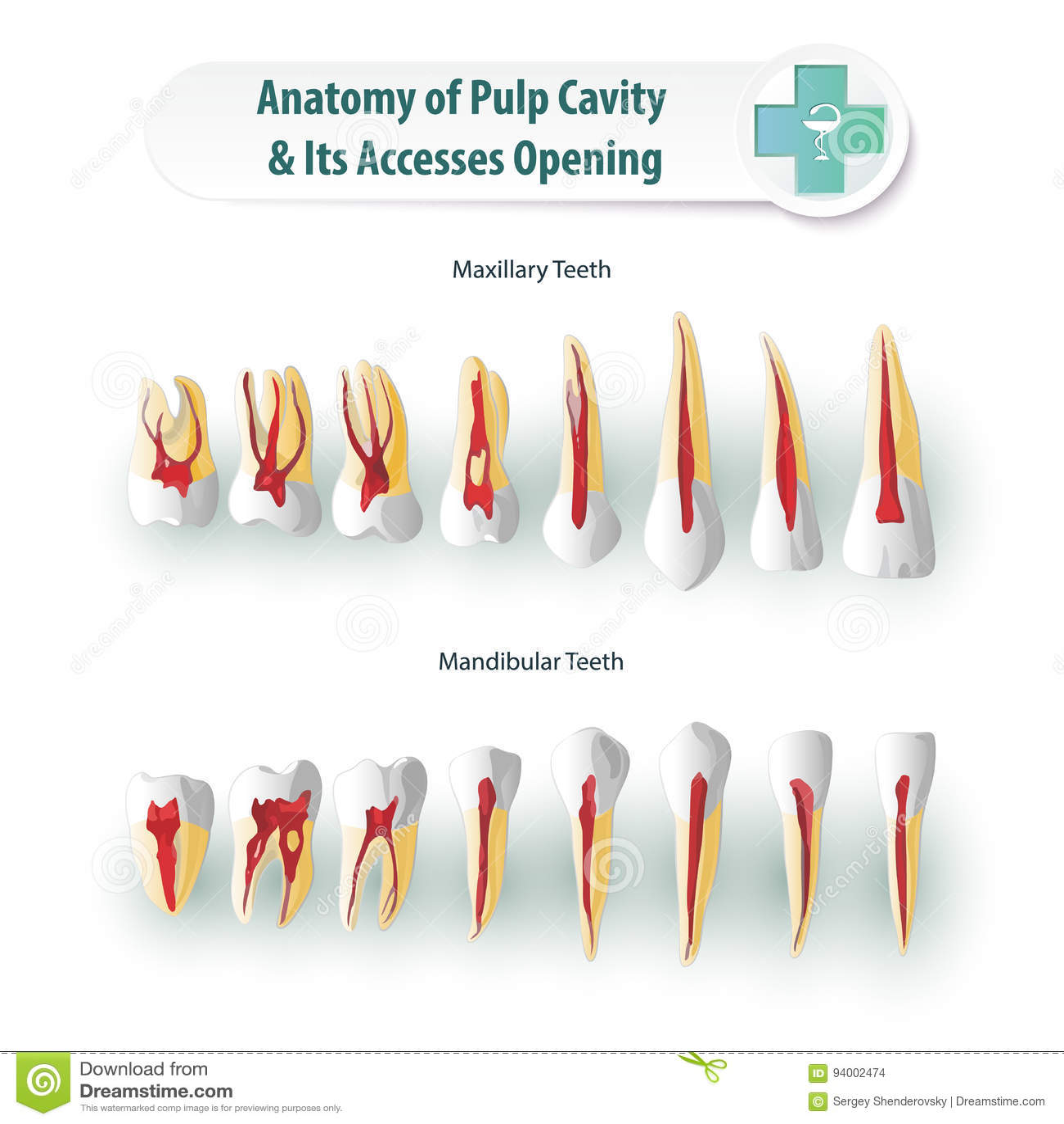 Dental Anatomy stock vector  Illustration of health, chart