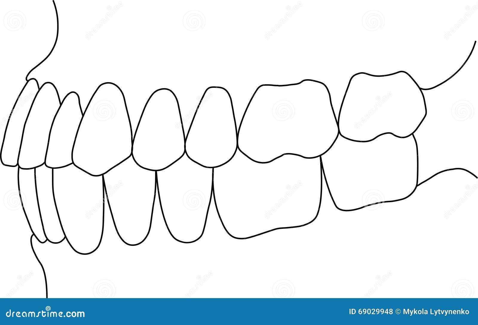 dental occlusion molars teeth close up royalty