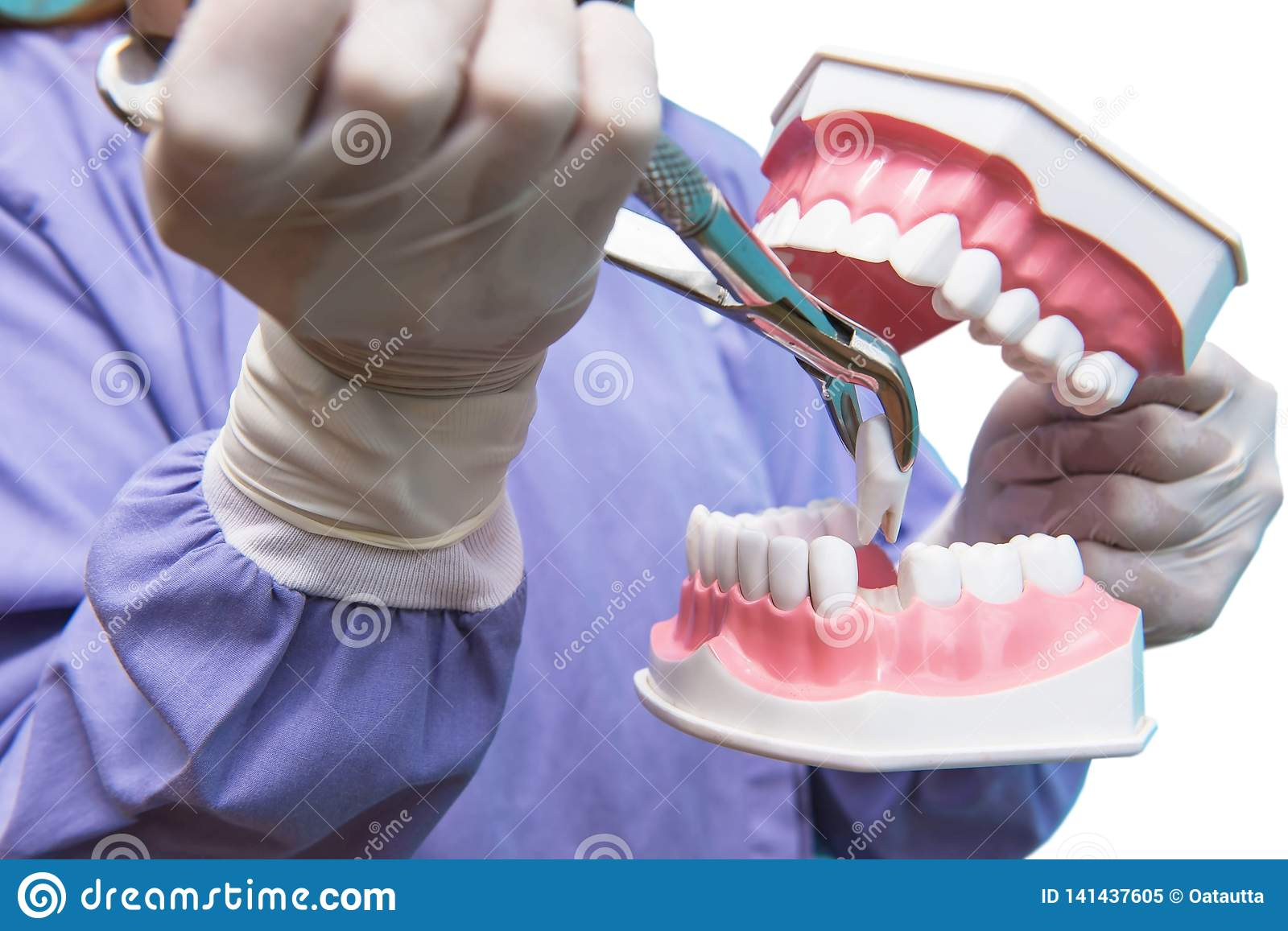 The Dental Model Is Used To Demonstration Of Tooth