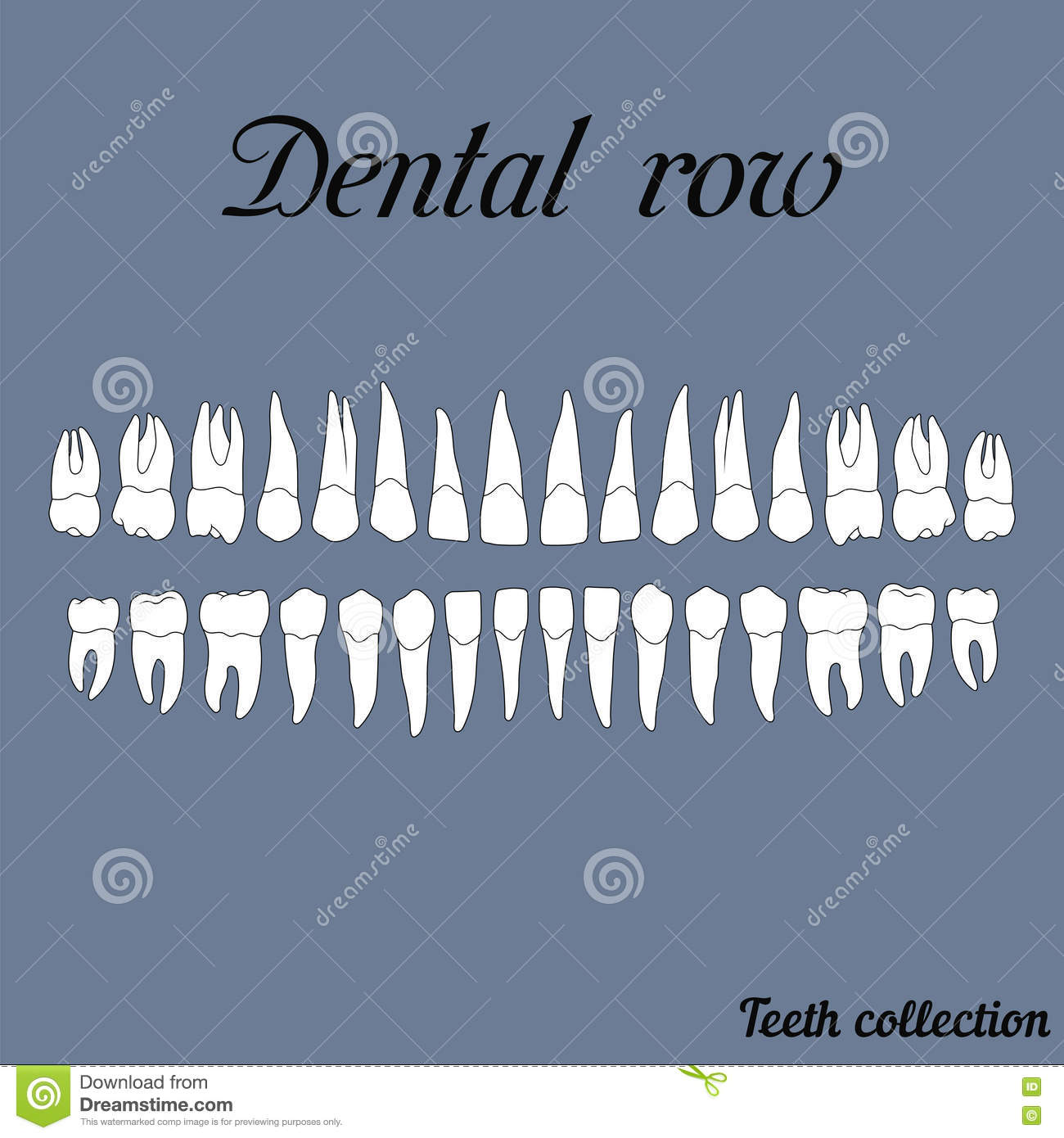 Jawbone stock illustrations 168 jawbone stock illustrations dental row teeth incisor canine premolar molar upper and lower jaw biocorpaavc Image collections