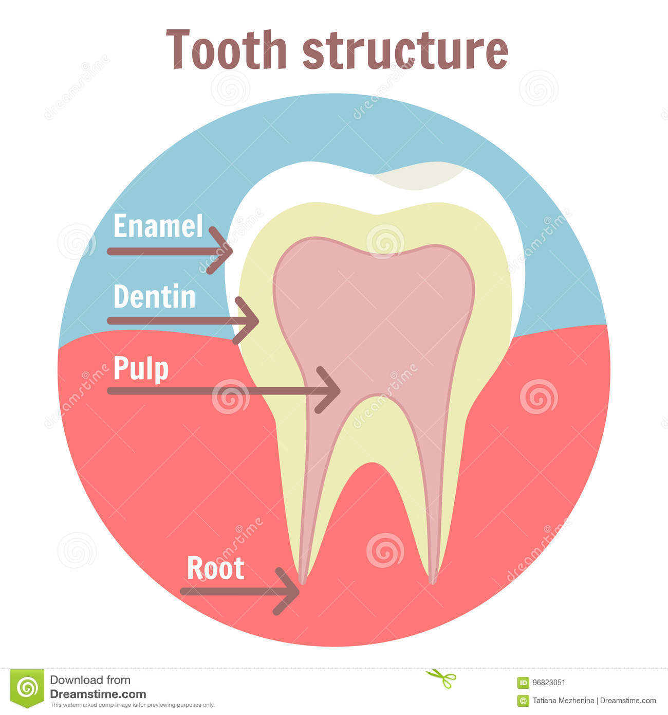 Dental tooth structure medical diagram of the structure of human medical diagram of the structure of human tooth pooptronica Images