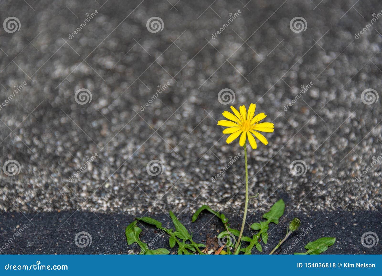 Dente-de-leão amarelo pequeno que cresce e que floresce com determinação em uma quebra entre o asfalto e o concreto