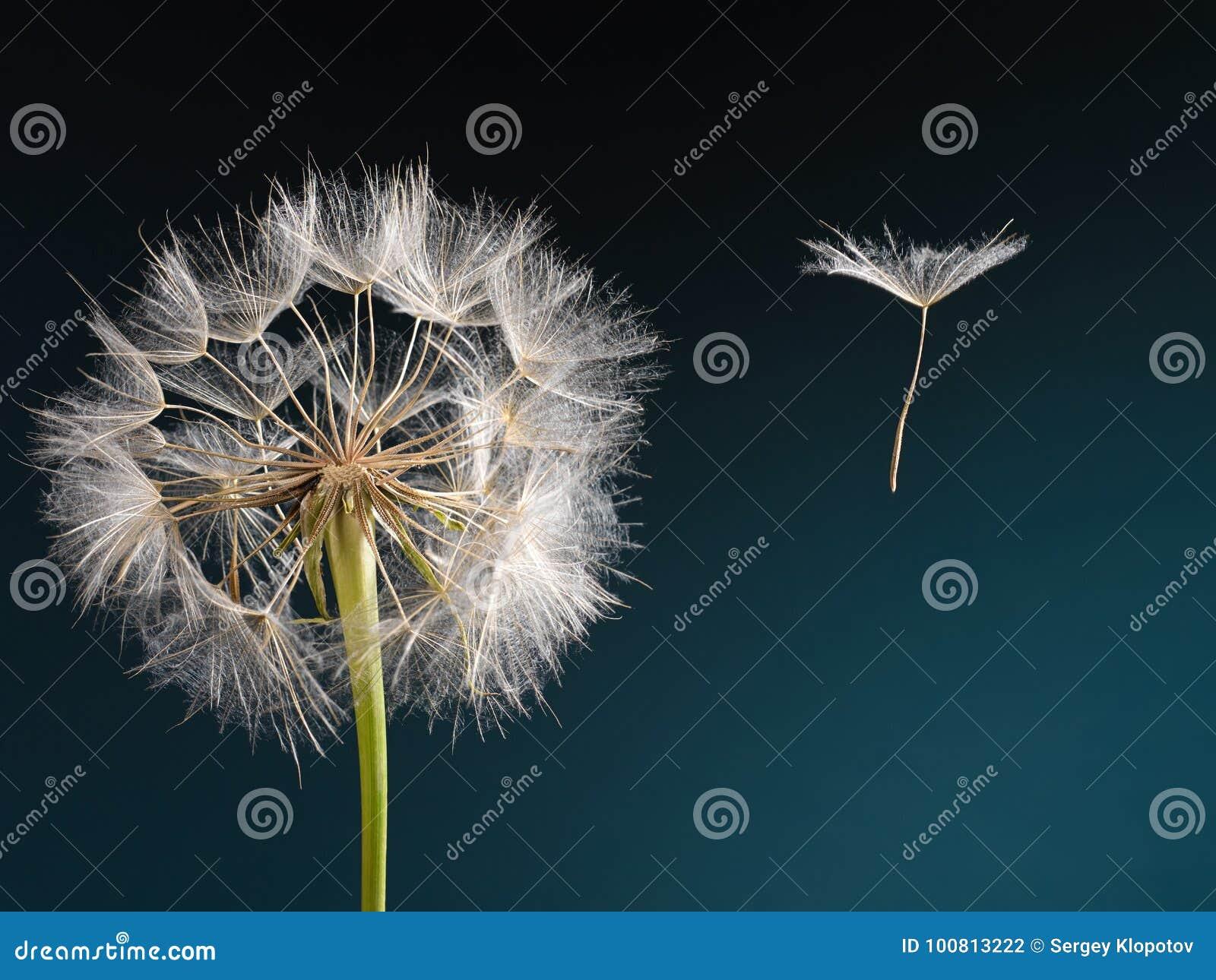 Dente-de-leão com a semente que funde afastado no vento