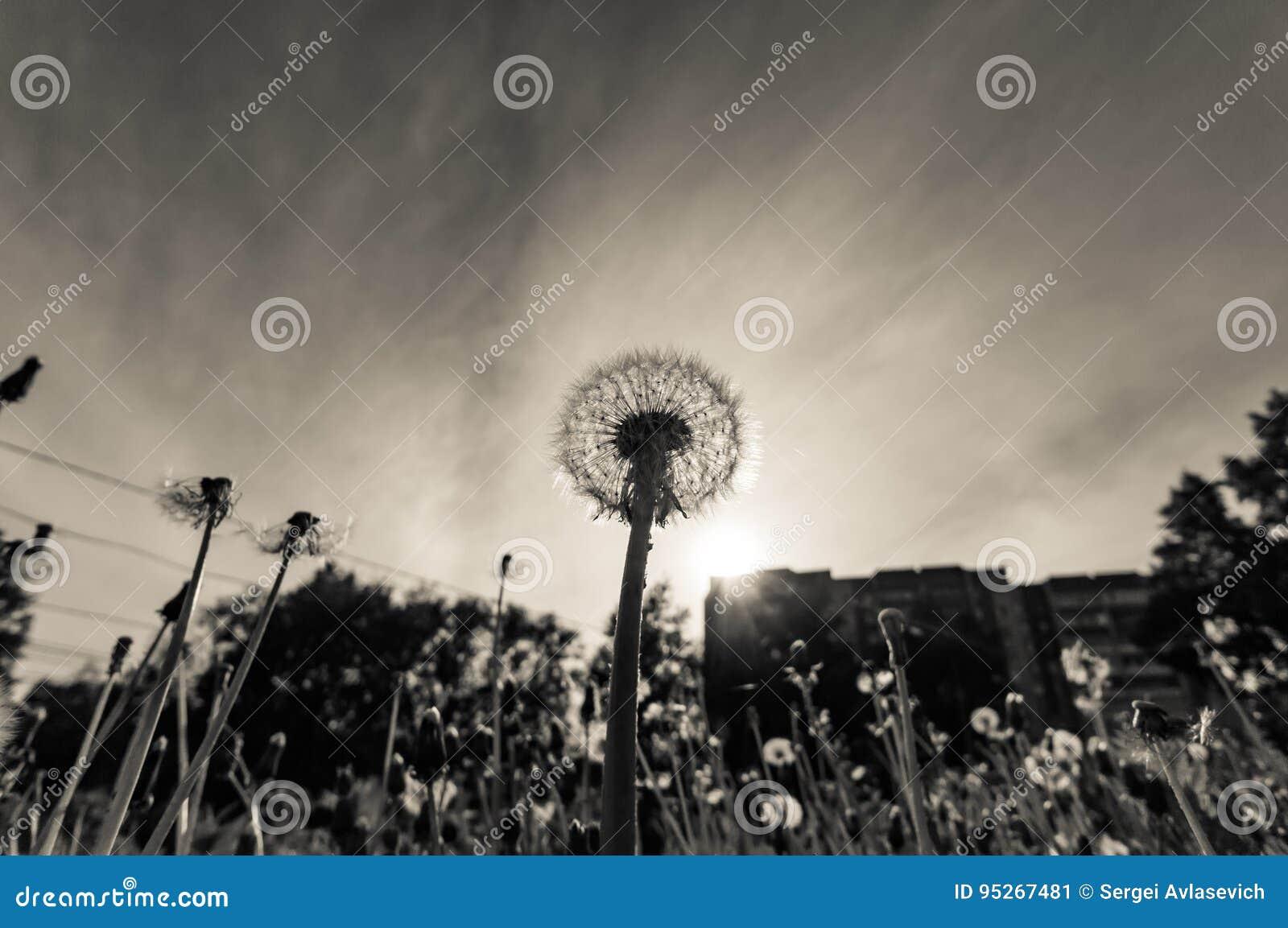 Dente-de-leão no por do sol