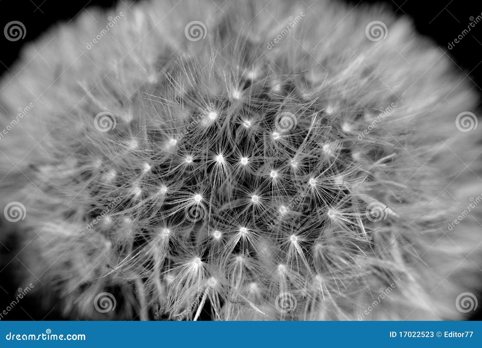 Dente di leone in bianco e nero fotografie stock for Foto alta definizione bianco e nero