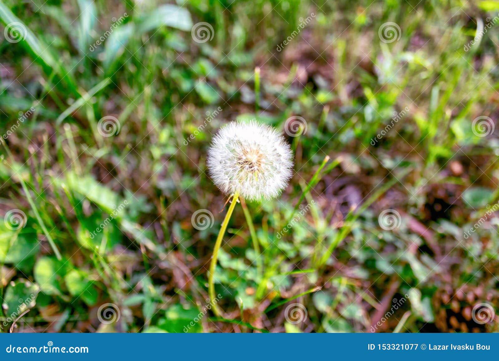 Dente di leone su fondo di erba verde