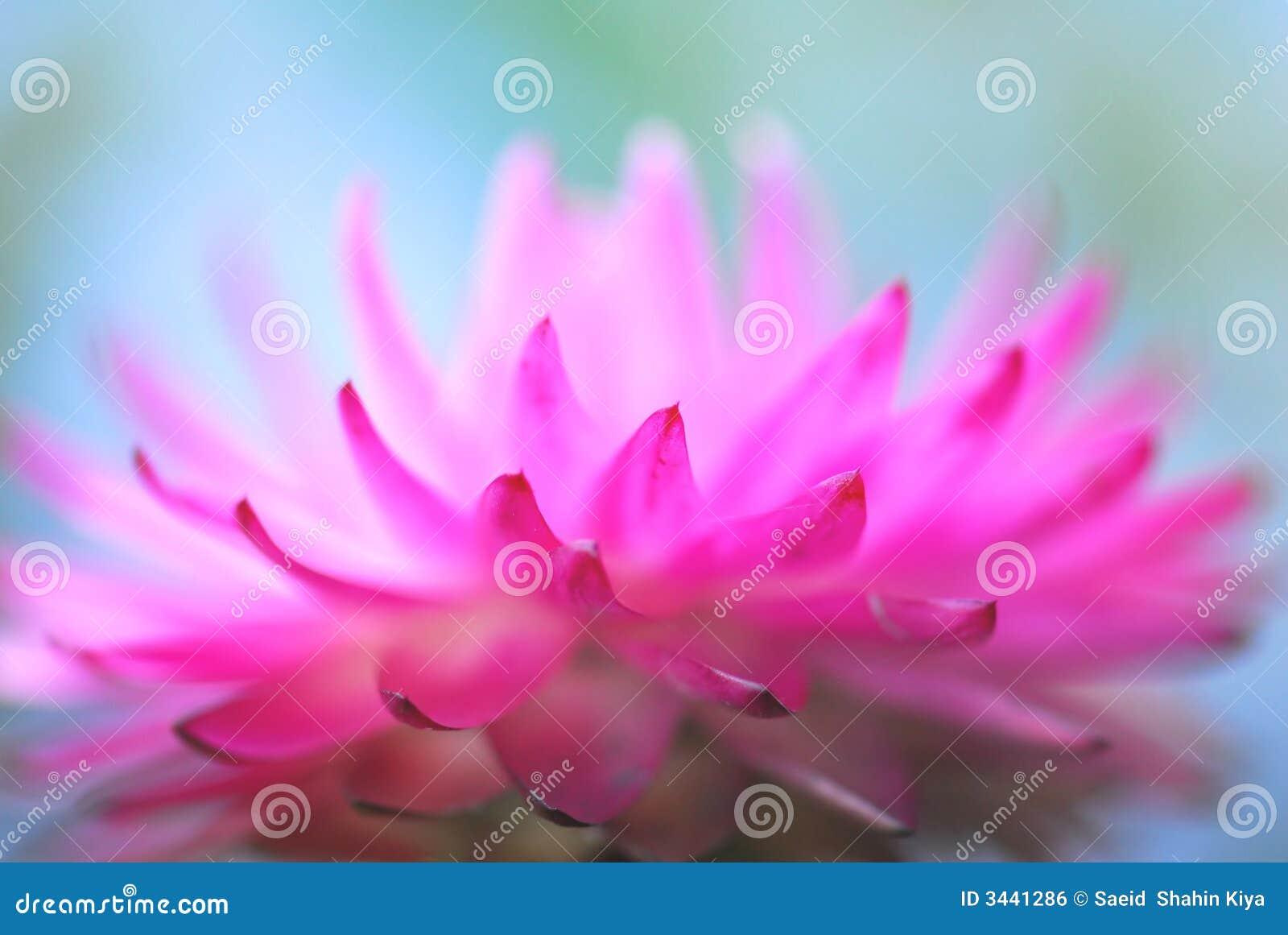 Dentelli il fiore