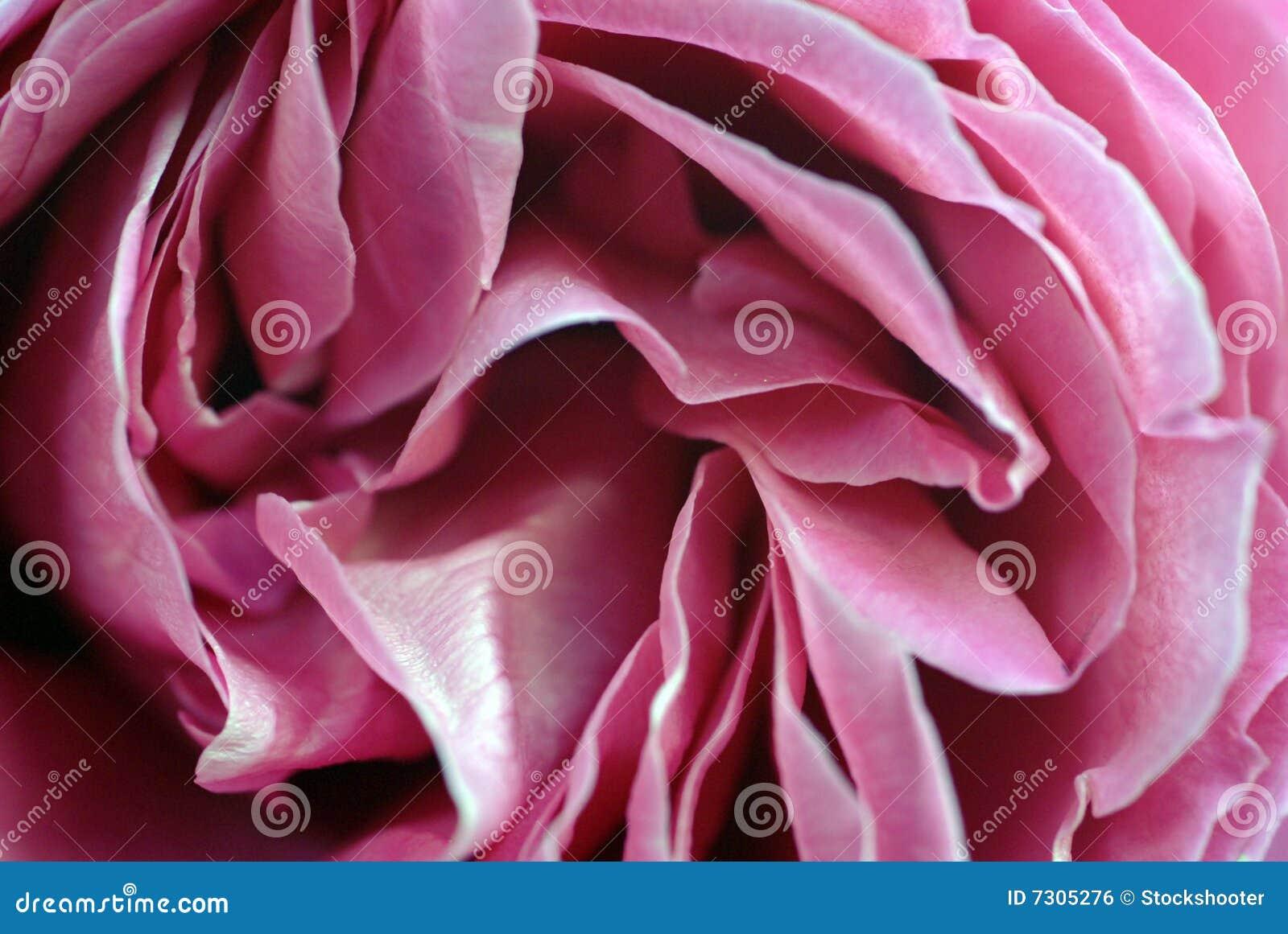 Dentelli il primo piano dei petali di Rosa